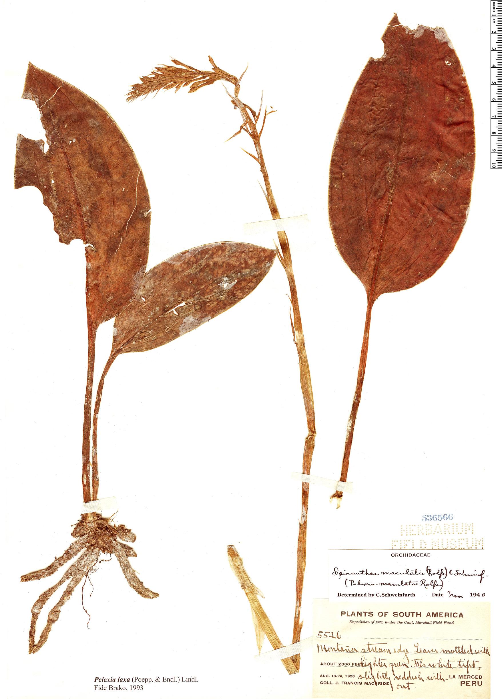 Specimen: Pelexia laxa