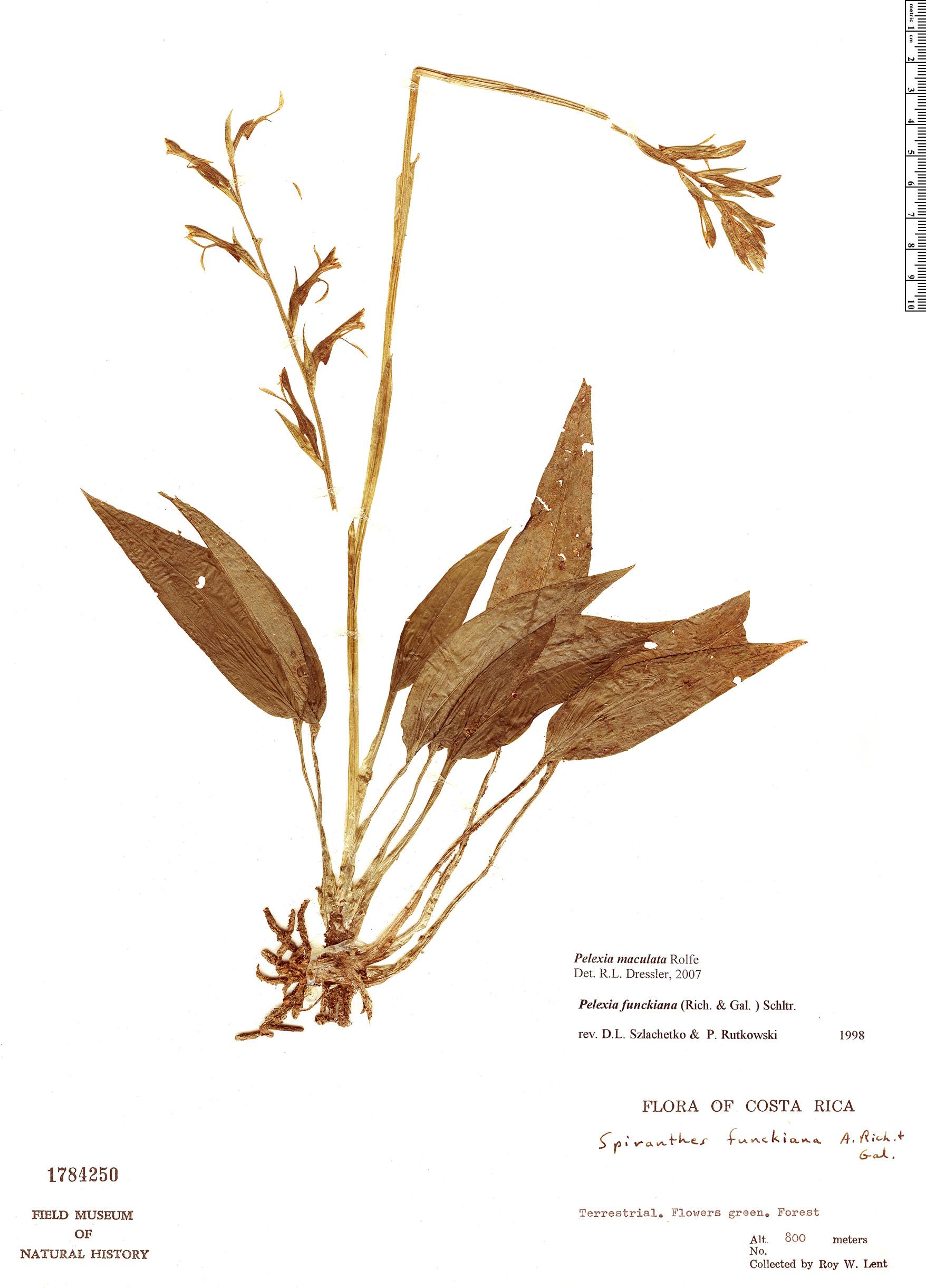 Specimen: Pelexia funckiana