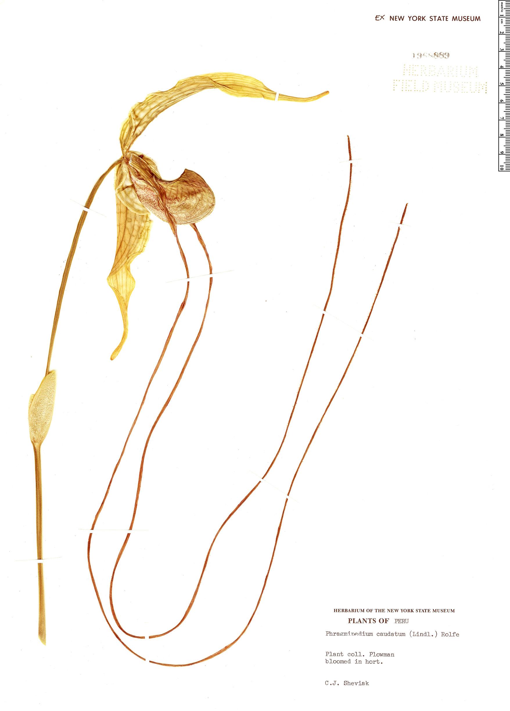 Specimen: Phragmipedium caudatum