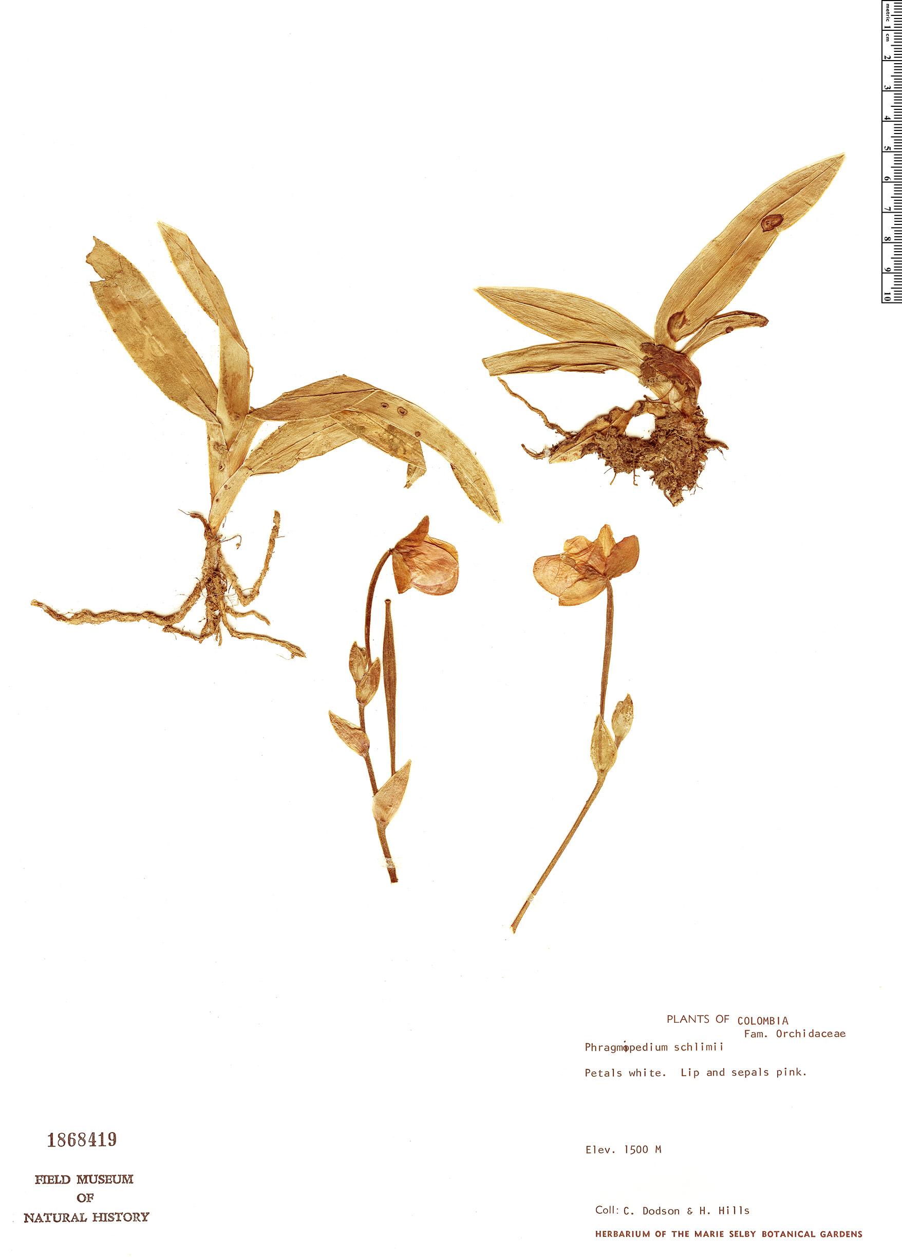 Specimen: Phragmipedium schlimii
