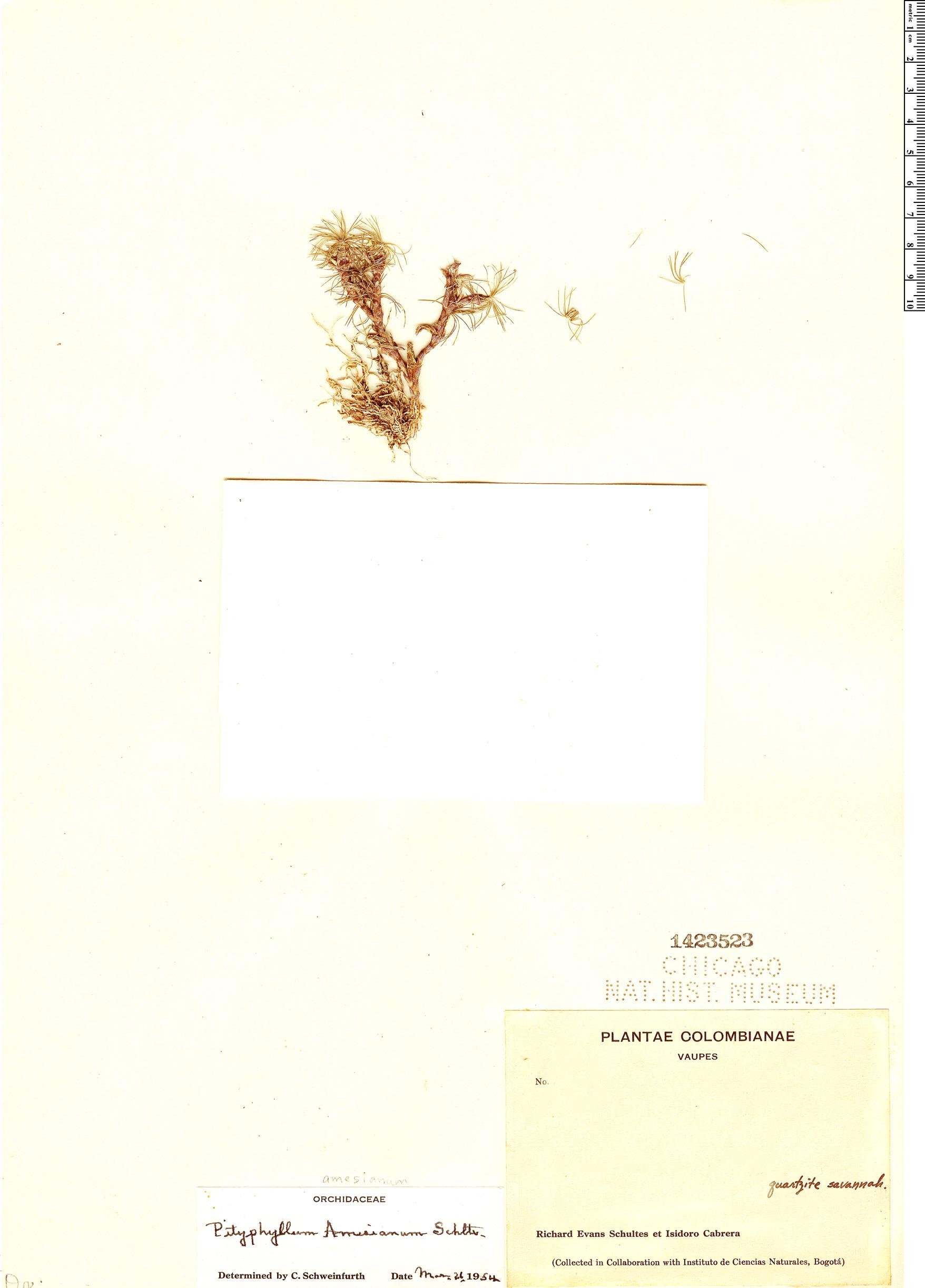 Espécimen: Pityphyllum amesianum