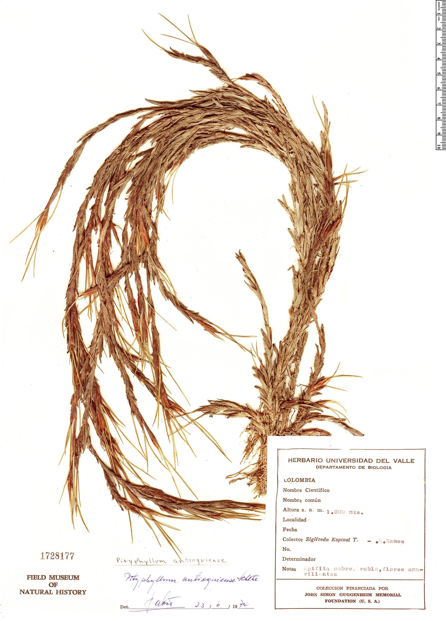 Specimen: Pityphyllum antioquiense