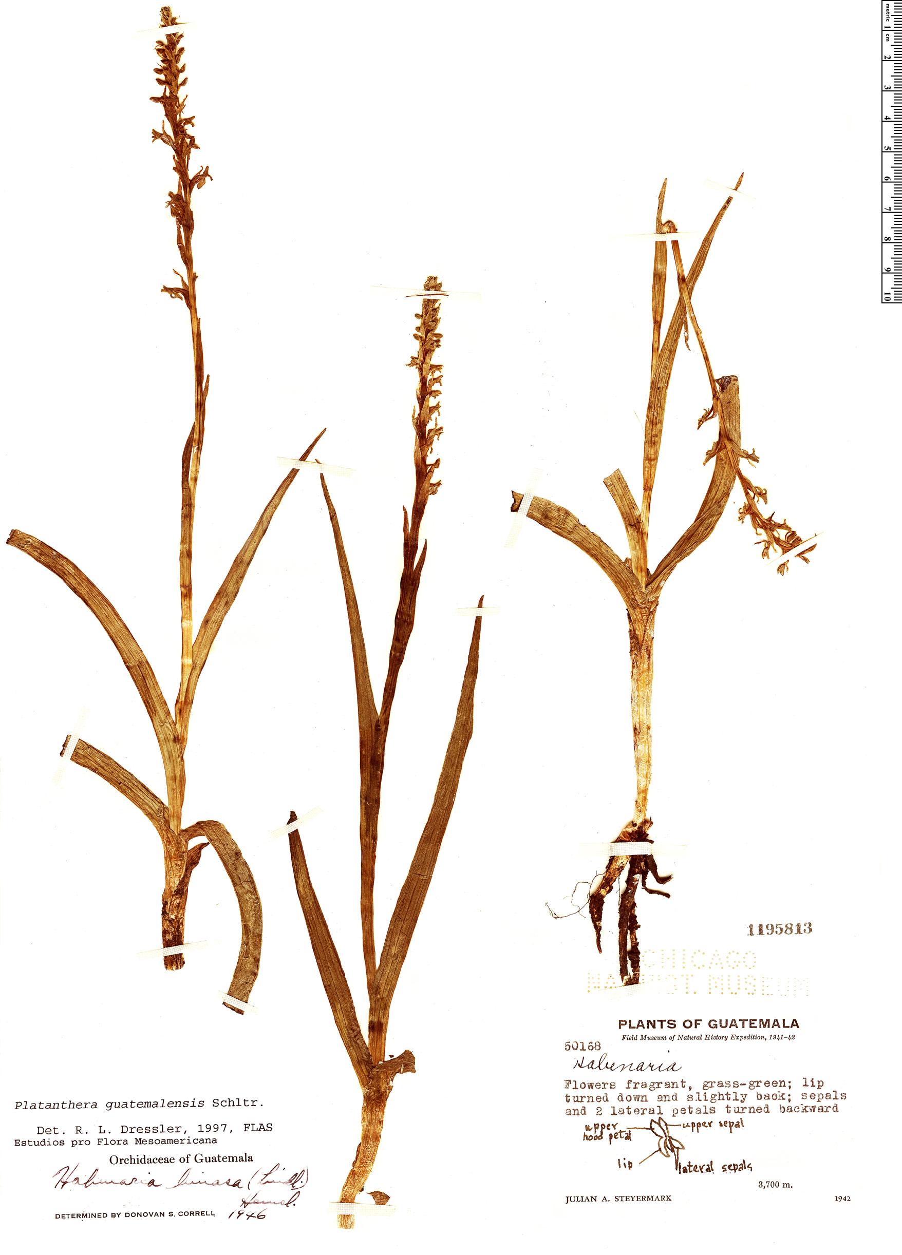 Specimen: Platanthera guatemalensis