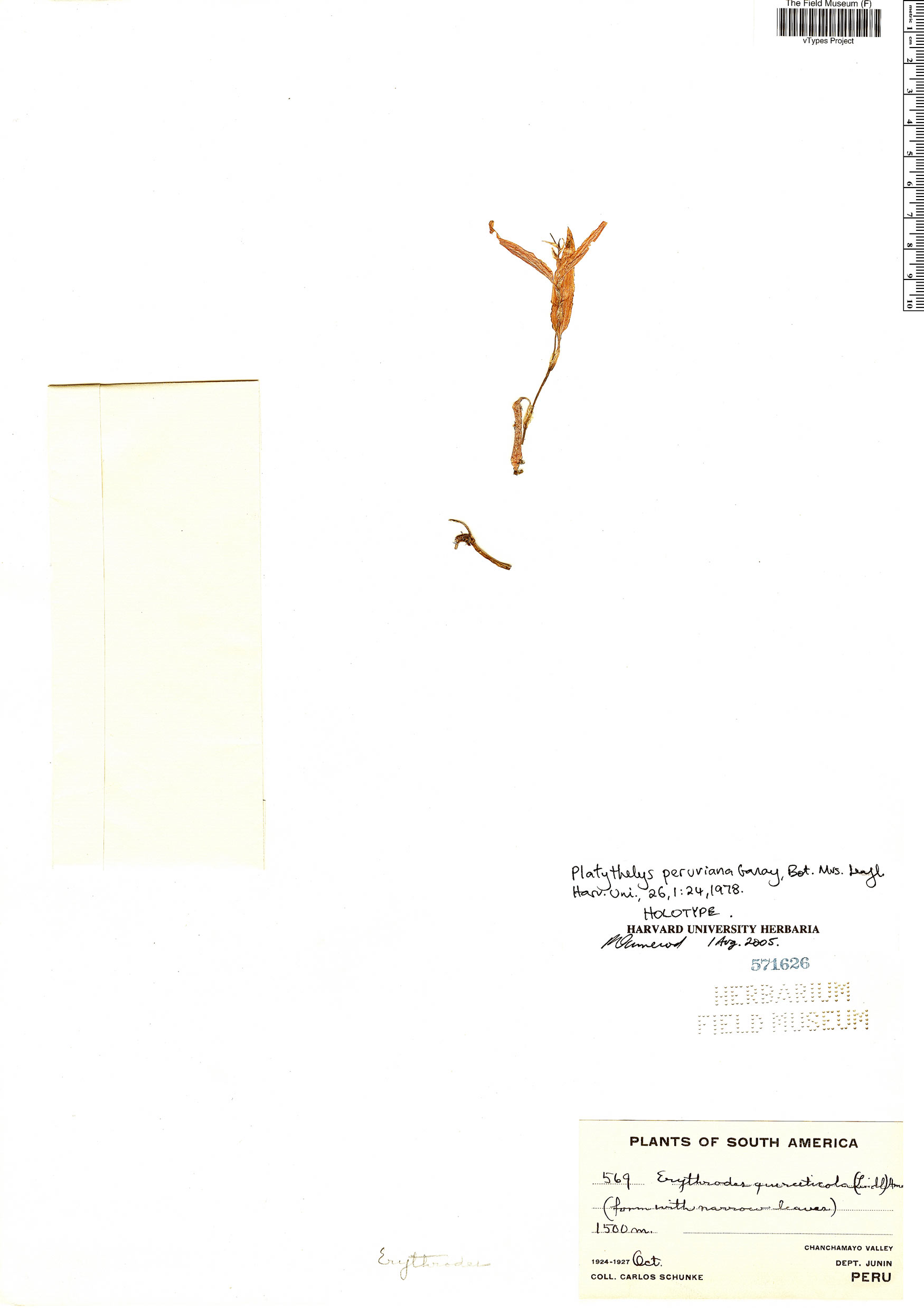 Specimen: Platythelys peruviana