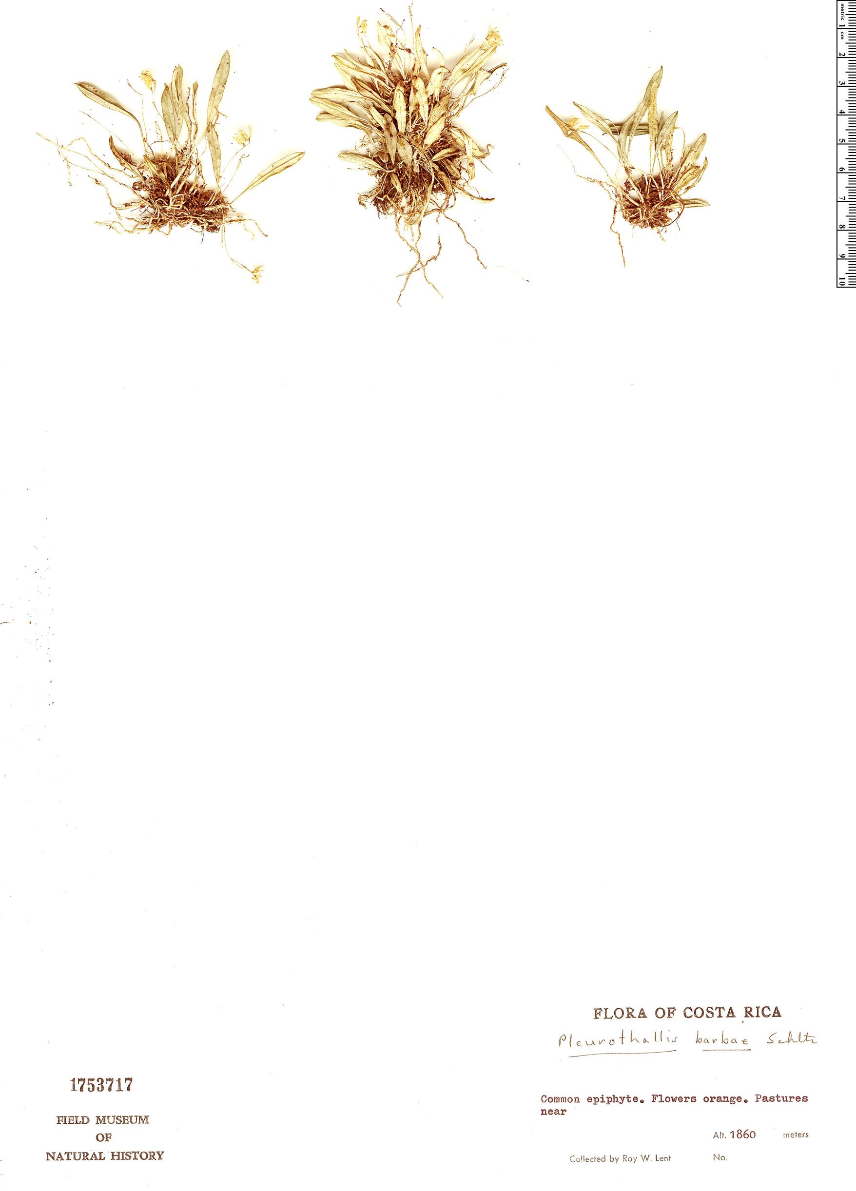 Specimen: Pleurothallis barbae