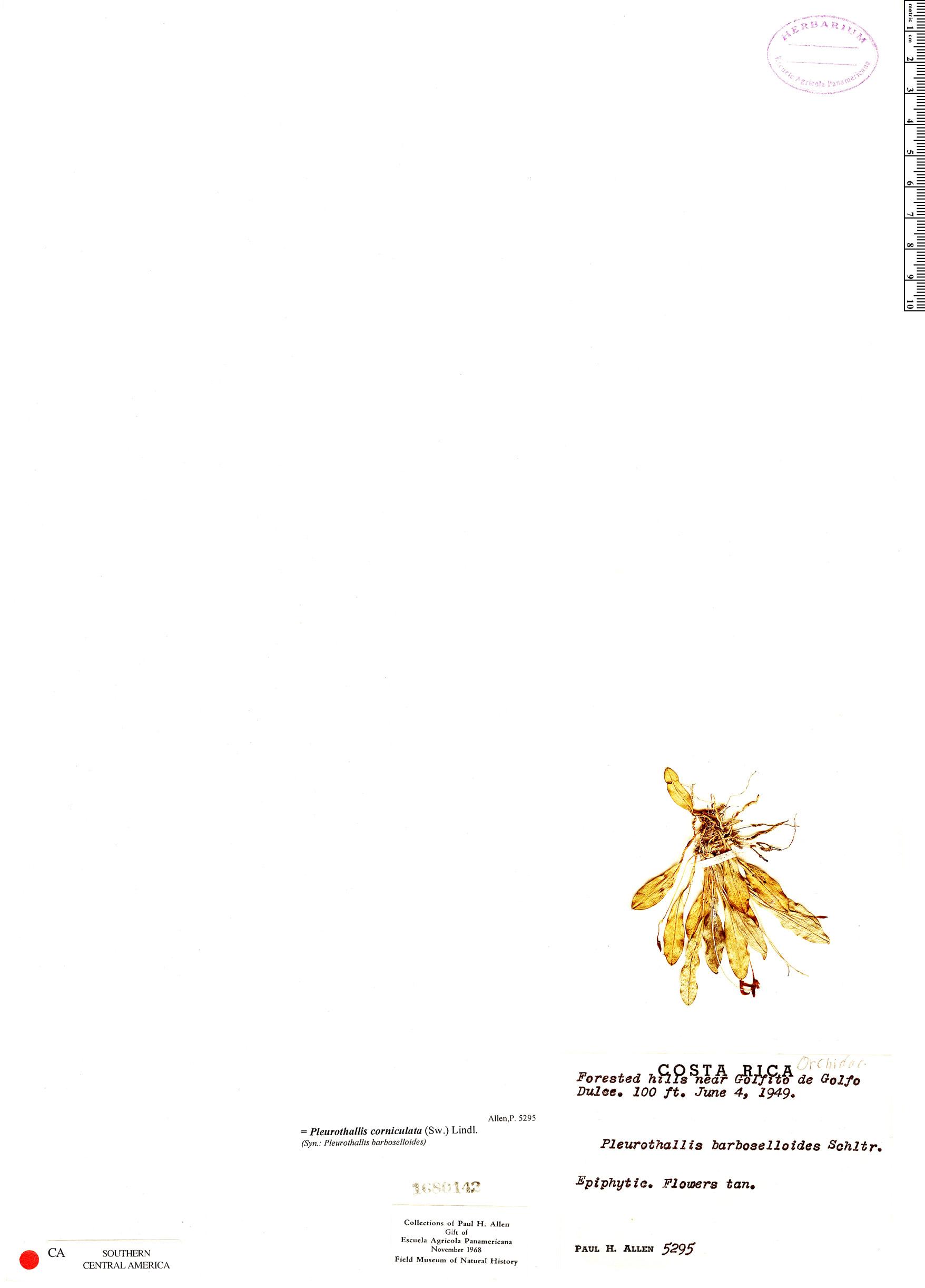 Specimen: Pleurothallis corniculata