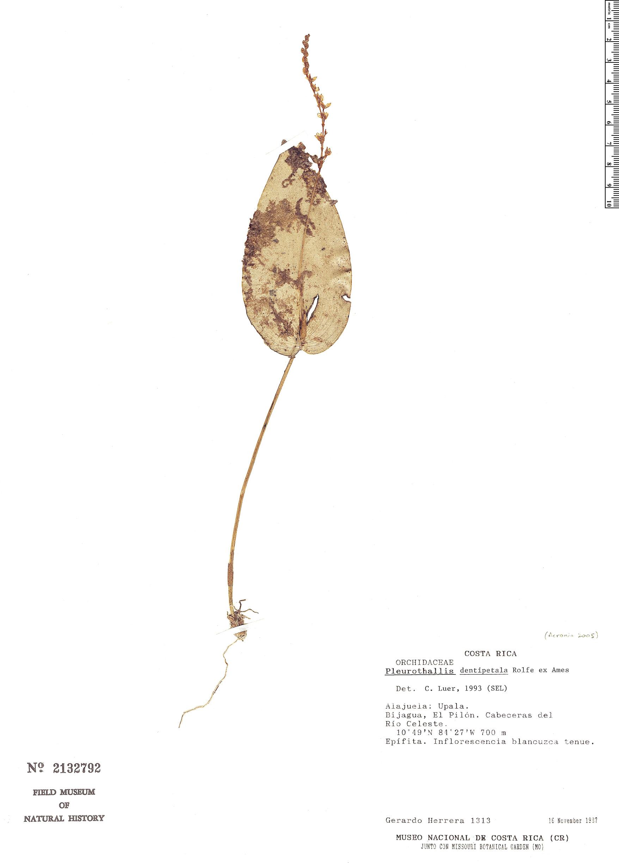 Specimen: Pleurothallis dentipetala