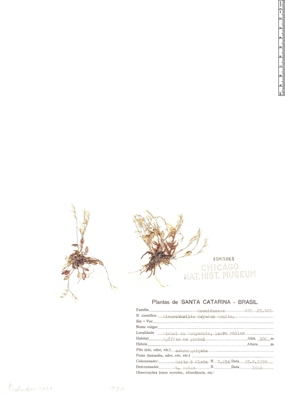Specimen: Pleurothallis dryadum