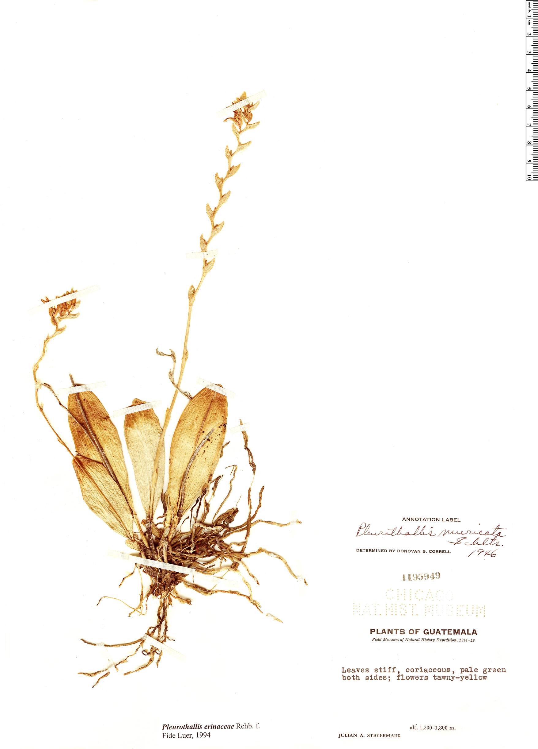 Specimen: Pleurothallis erinacea