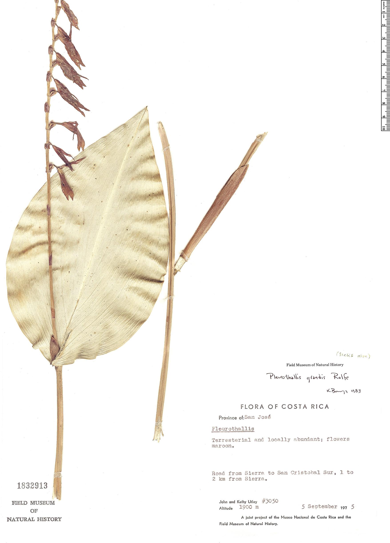 Specimen: Pleurothallis grandis
