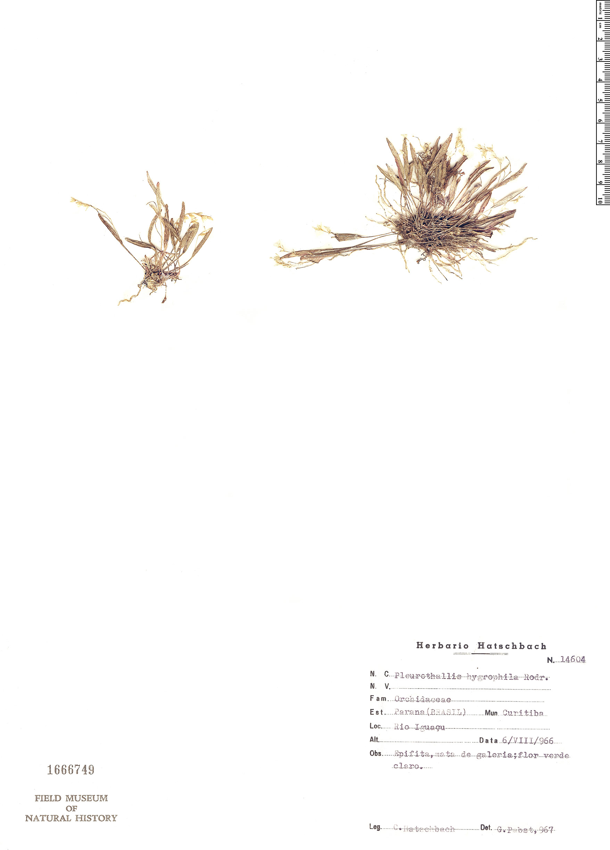 Specimen: Pleurothallis hygrophila