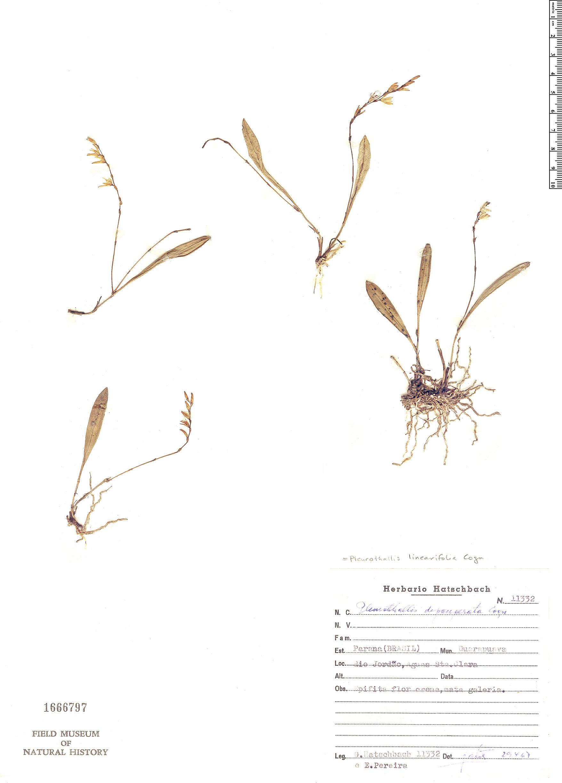Specimen: Pleurothallis linearifolia