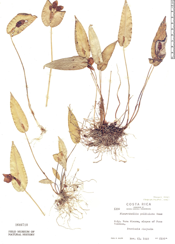 Specimen: Pleurothallis palliolata