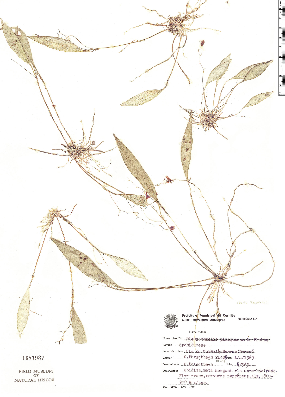 Specimen: Pleurothallis piraquarensis