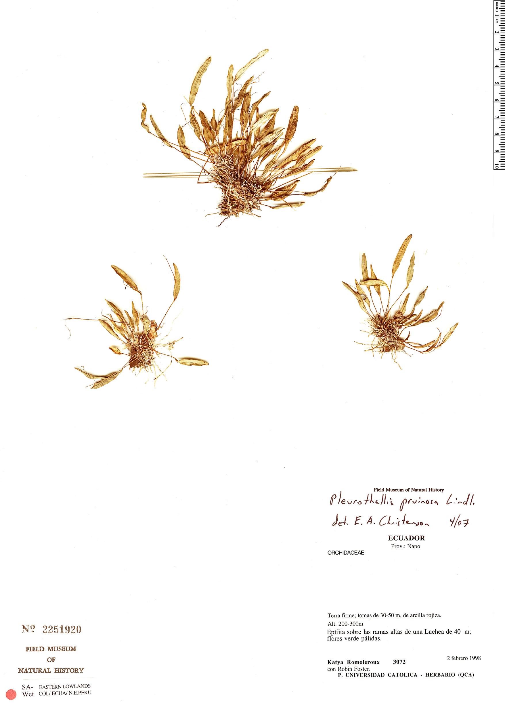 Specimen: Pleurothallis pruinosa