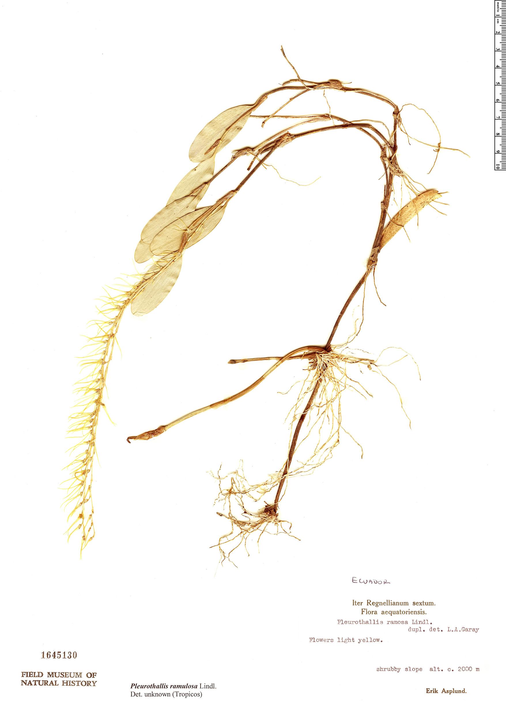 Specimen: Pleurothallis ramulosa