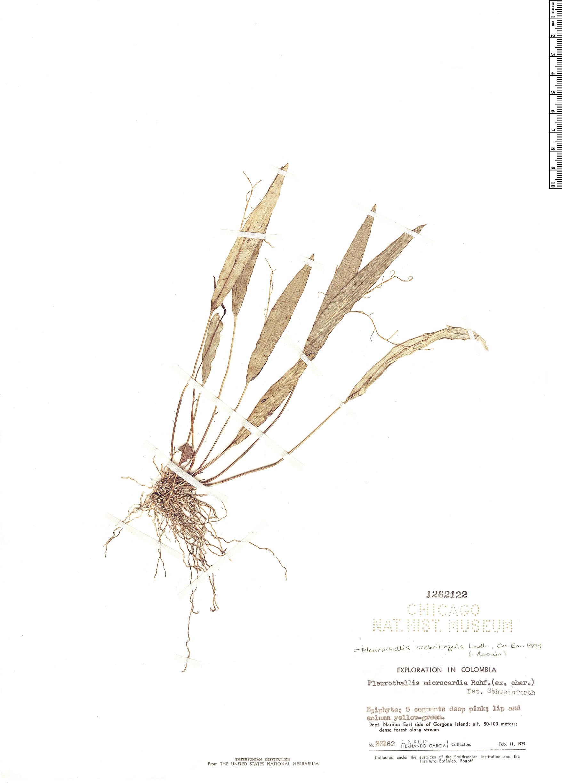 Specimen: Pleurothallis scabrilinguis