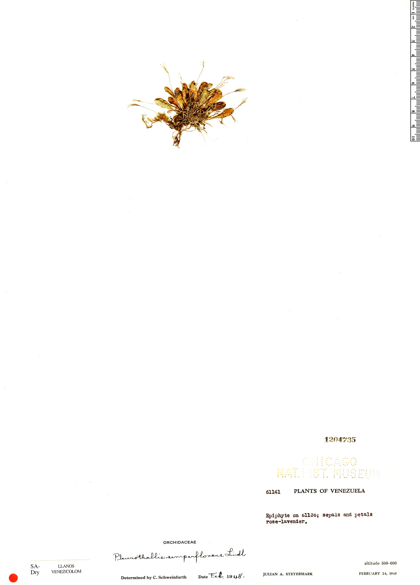 Specimen: Pleurothallis semperflorens