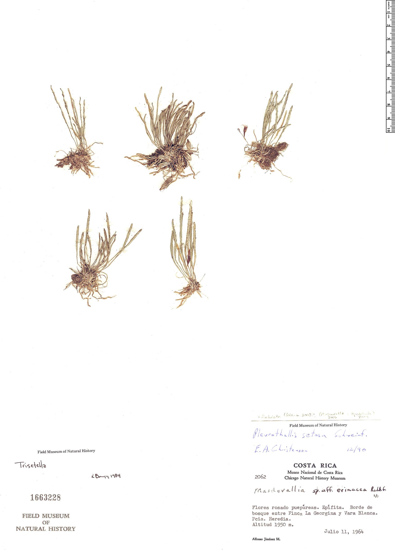 Specimen: Pleurothallis setosa