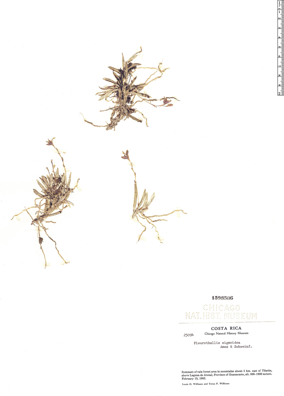 Specimen: Pleurothallis sigmoidea