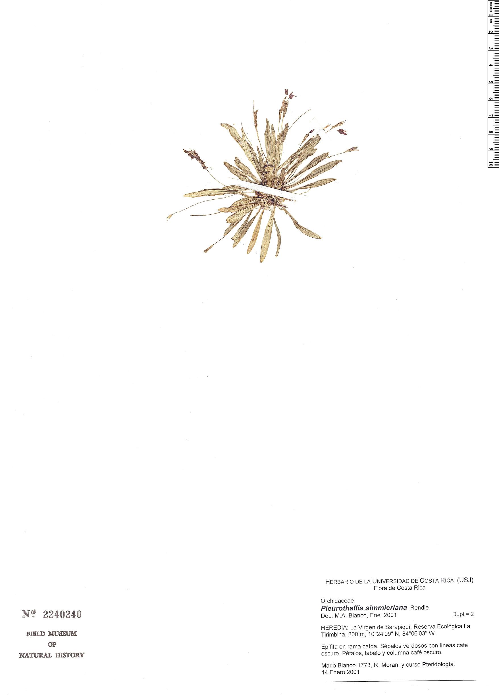 Specimen: Pleurothallis simmleriana