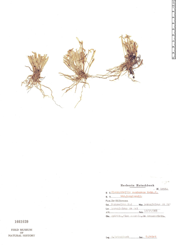 Specimen: Pleurothallis sonderiana