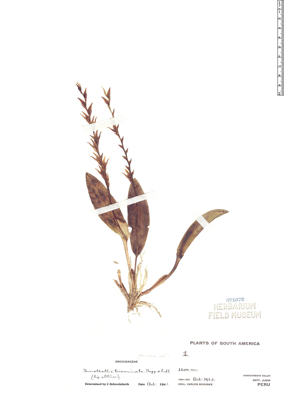 Specimen: Pleurothallis tricarinata