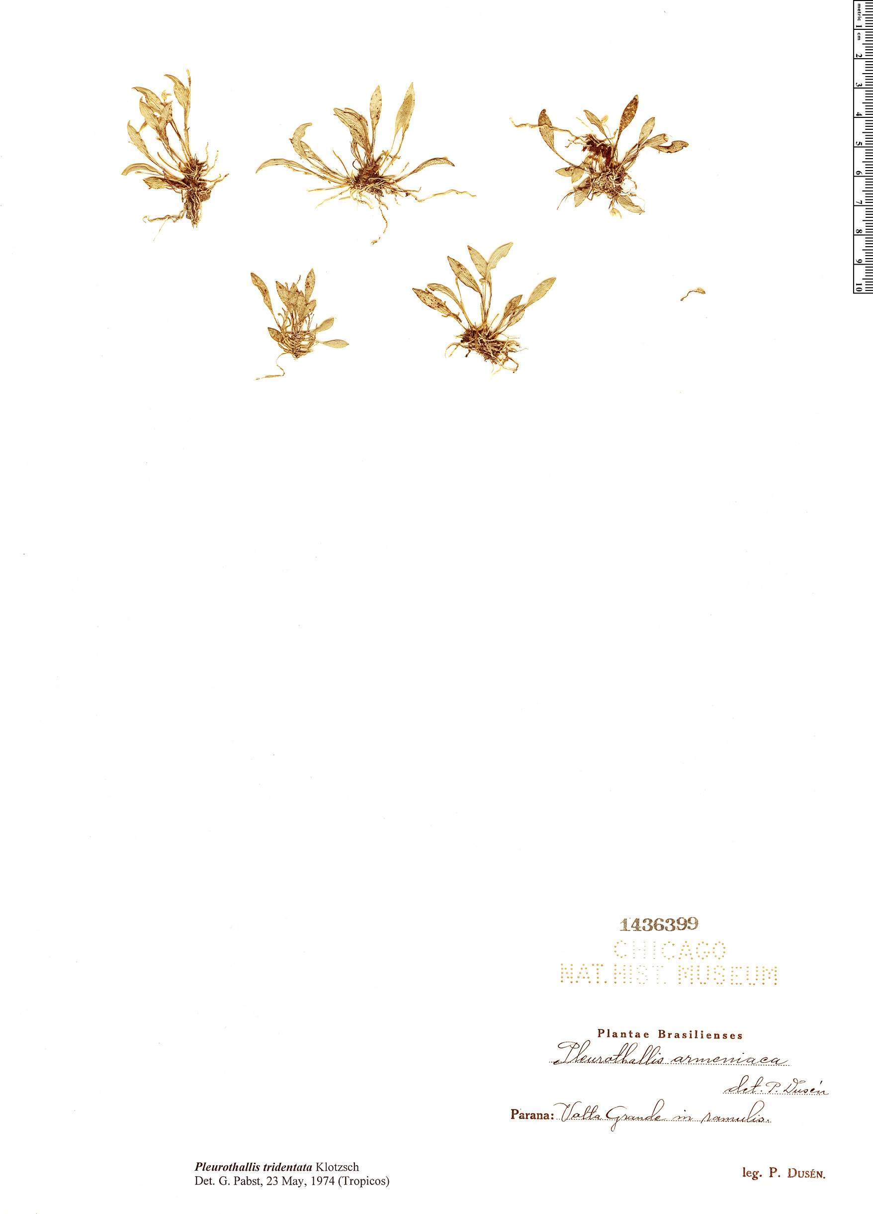 Specimen: Pleurothallis tridentata