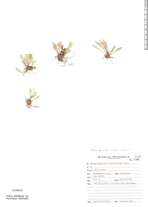 Specimen: Pleurothallis trifida