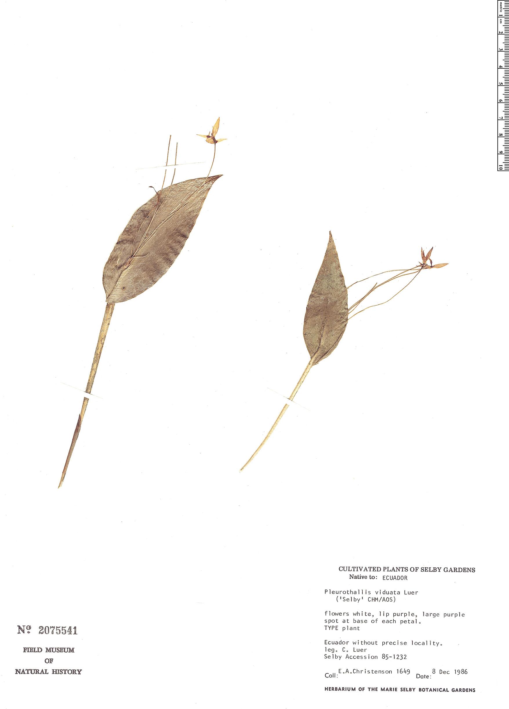 Specimen: Pleurothallis viduata