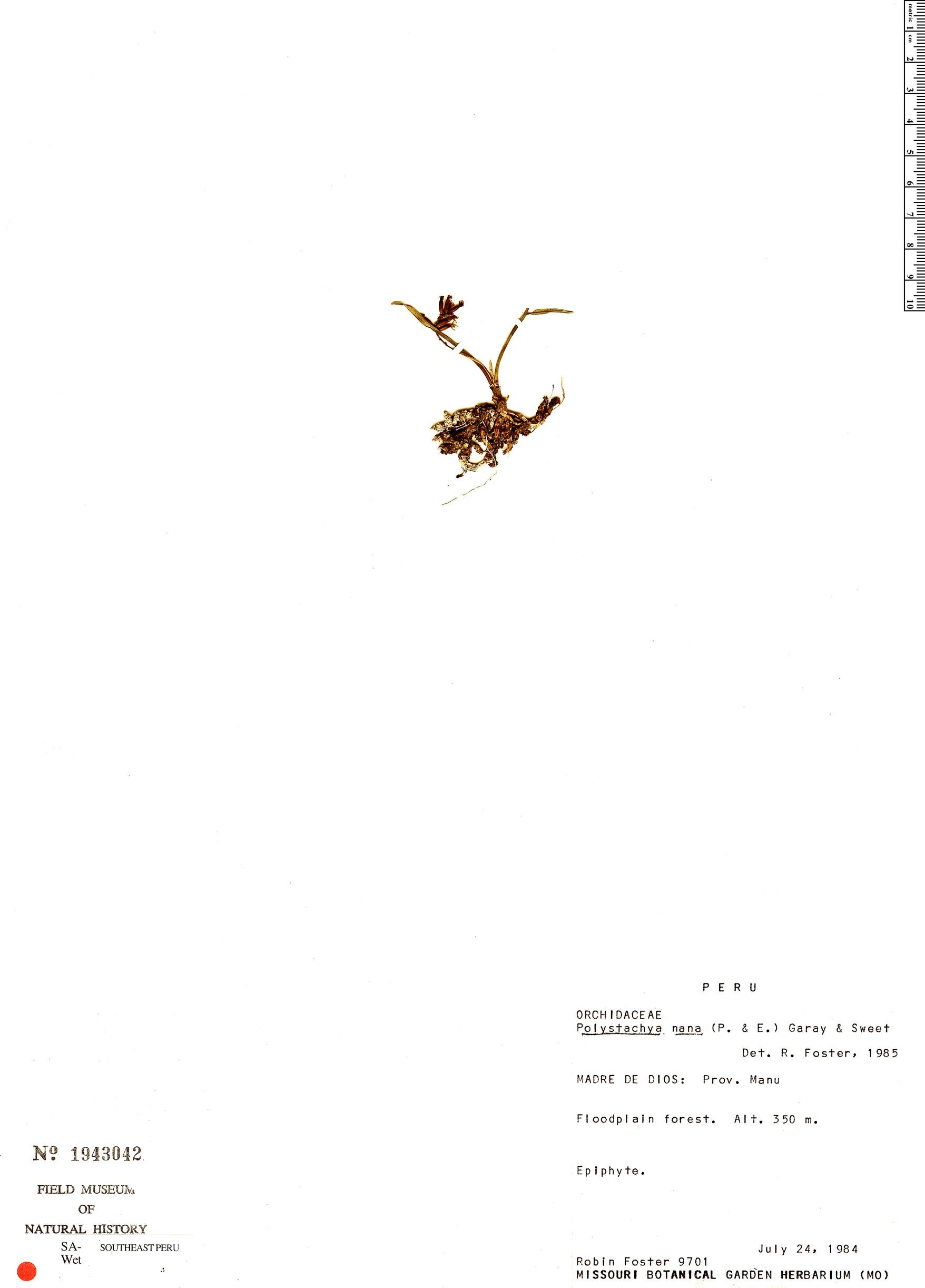 Specimen: Polystachya peruviana