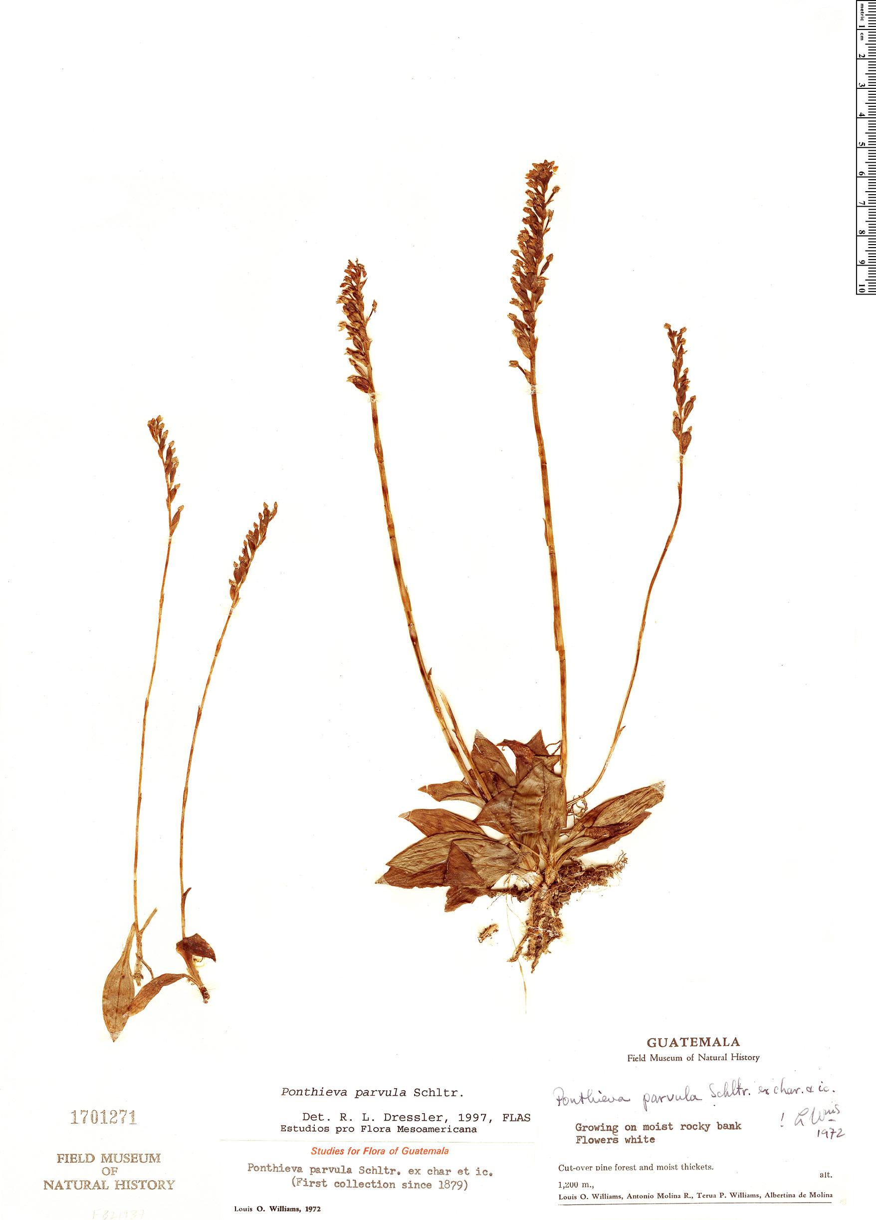 Specimen: Ponthieva parvula