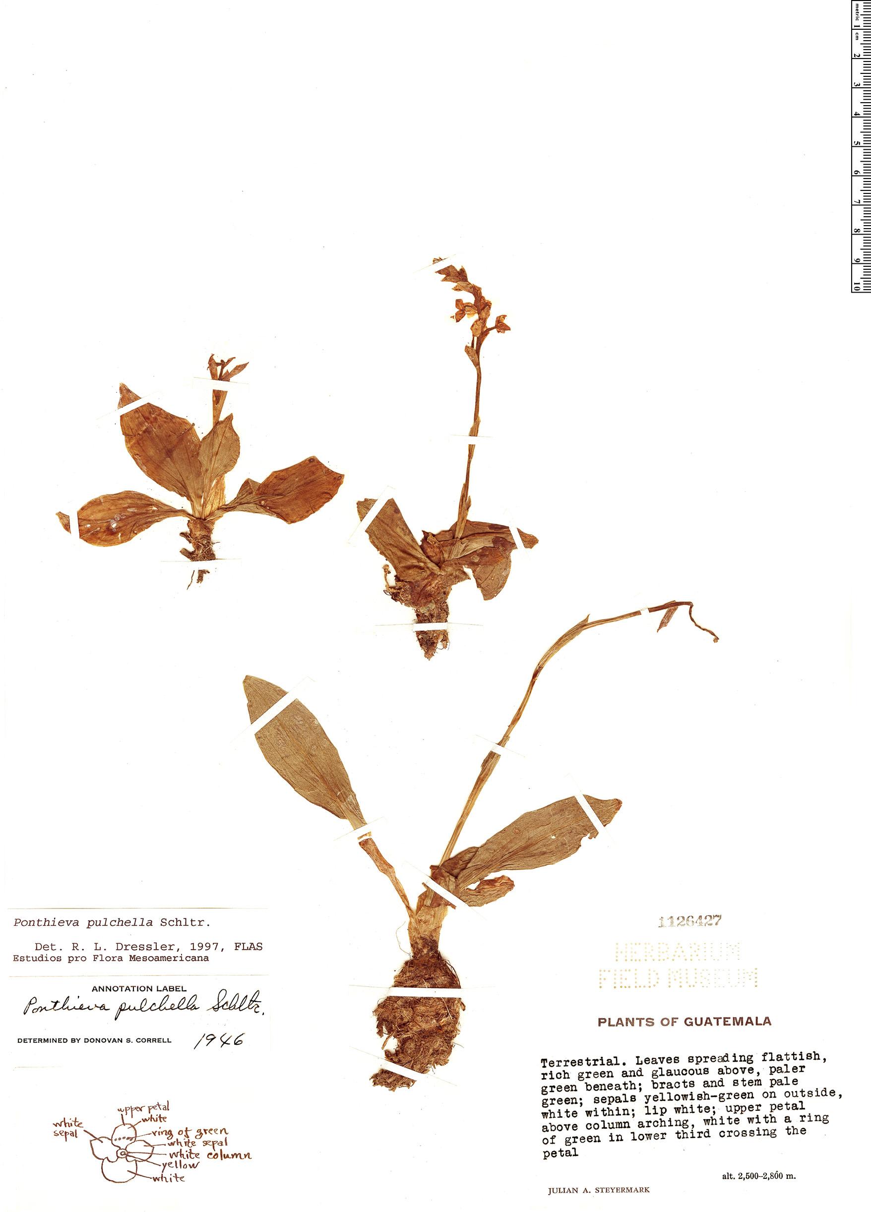Espécimen: Ponthieva pulchella