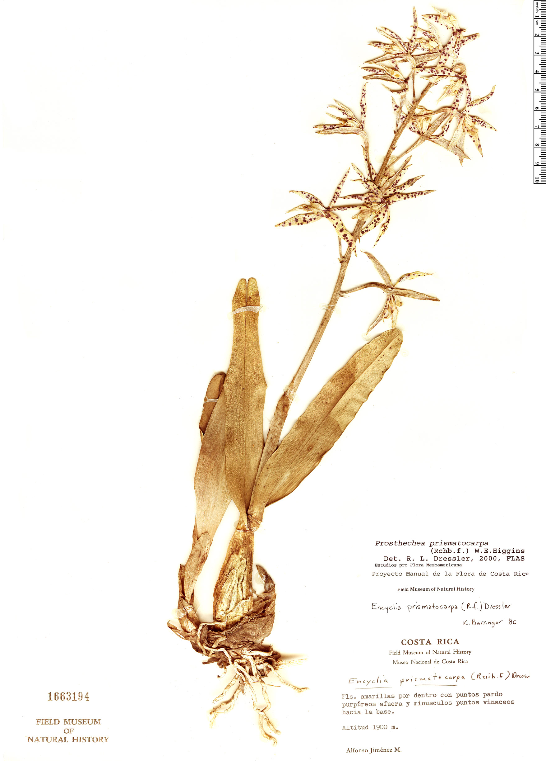 Specimen: Prosthechea prismatocarpa