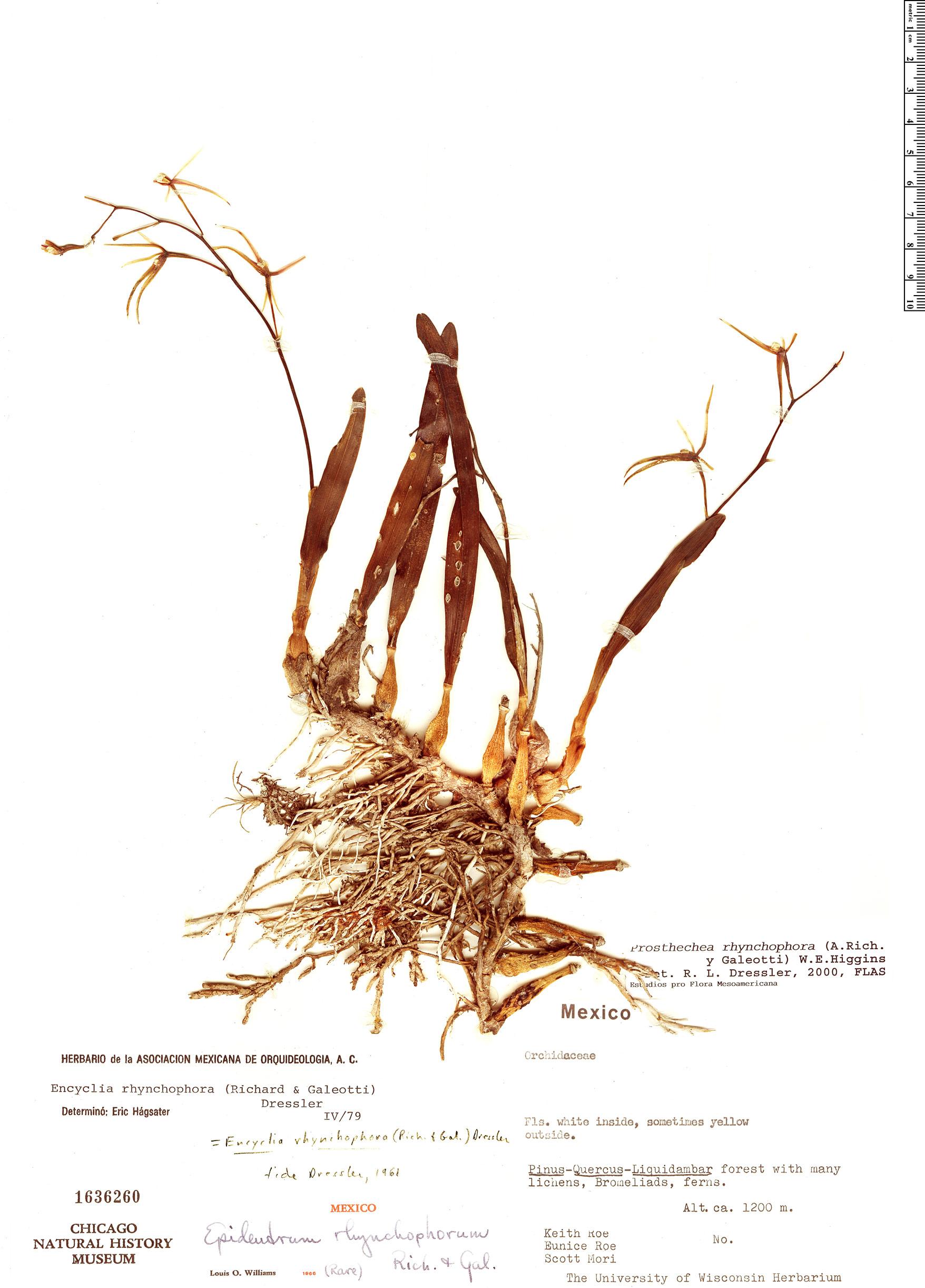 Specimen: Prosthechea rhynchophora