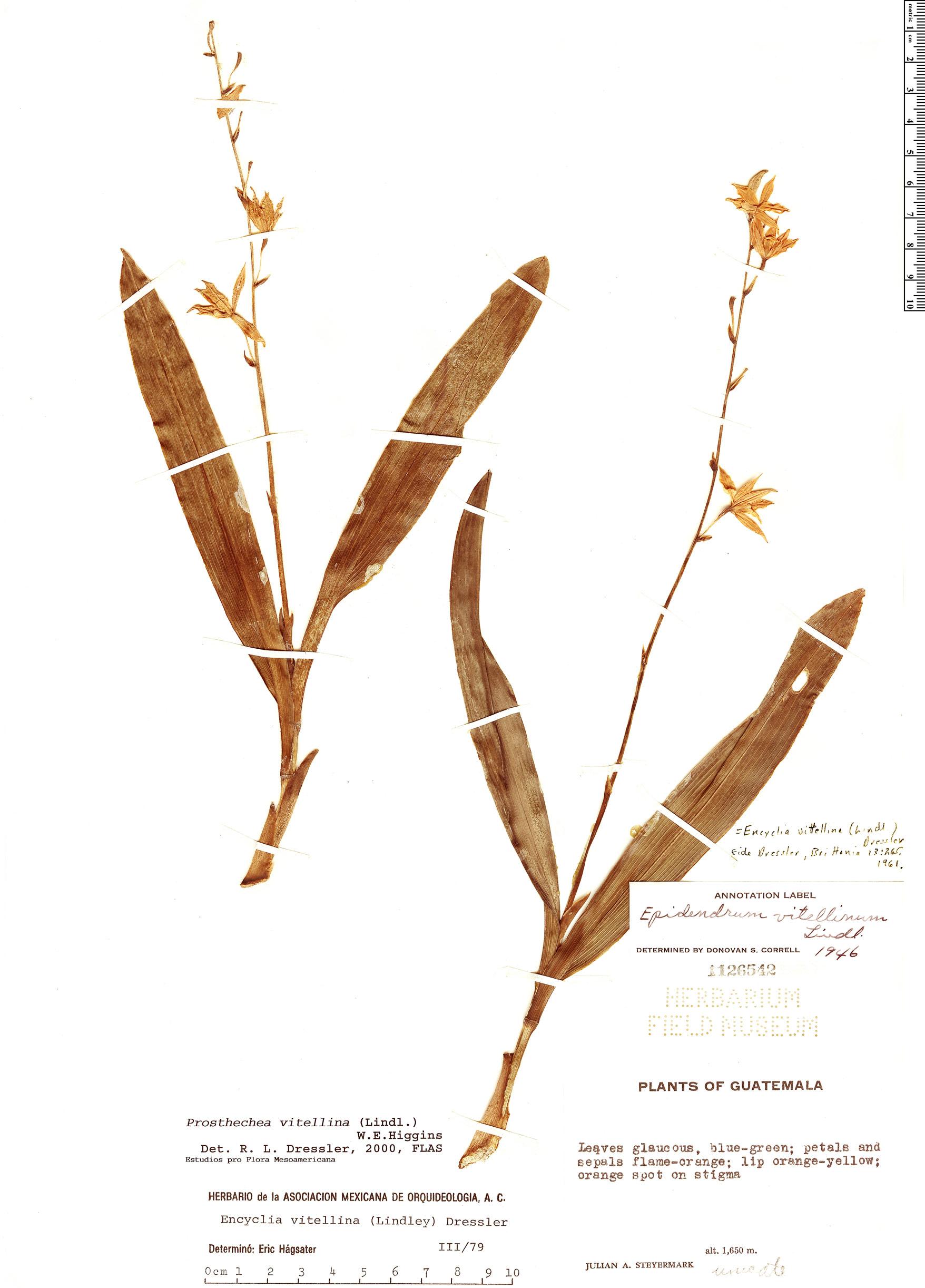 Specimen: Prosthechea vitellina