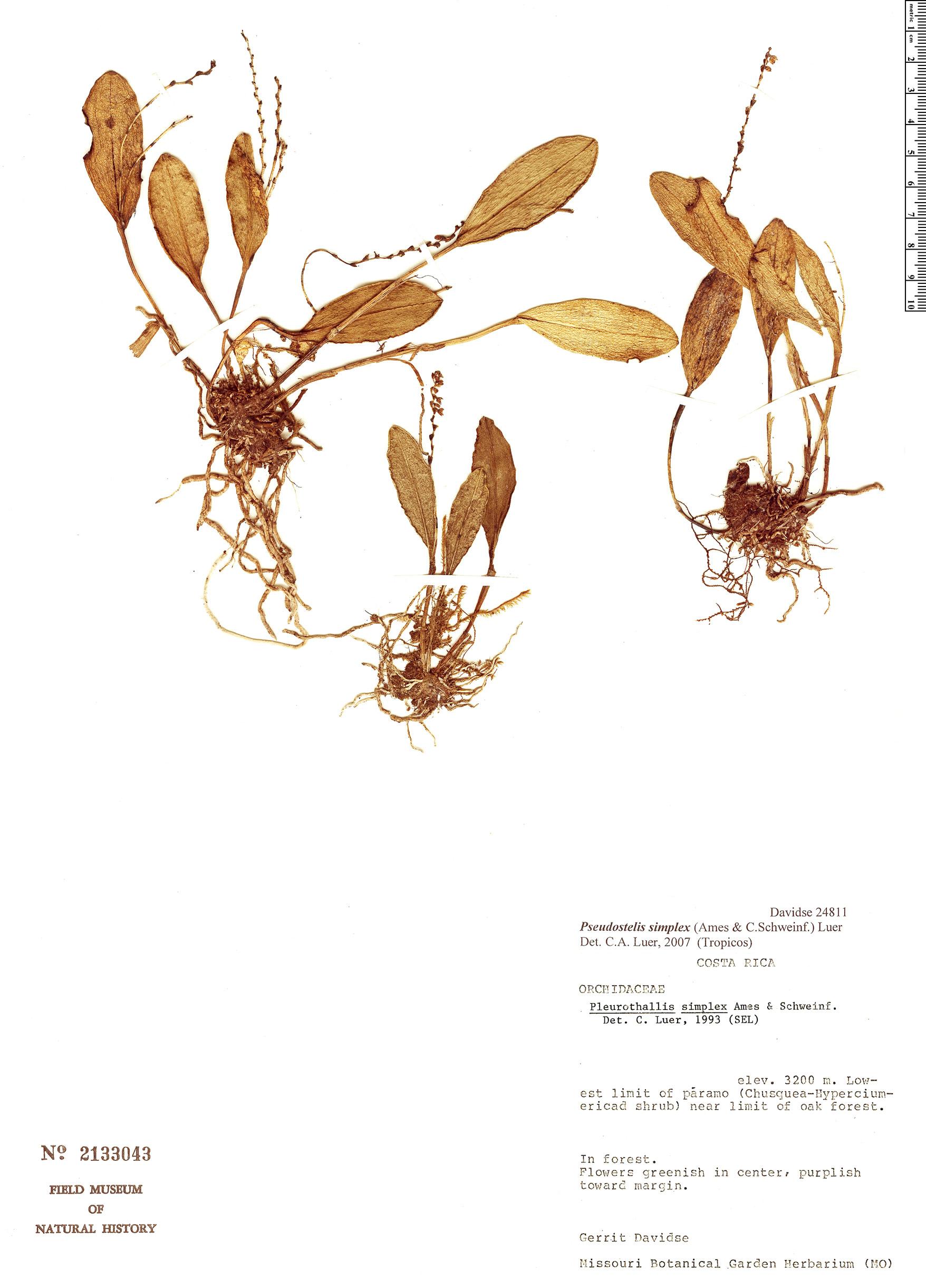 Specimen: Pleurothallis simplex