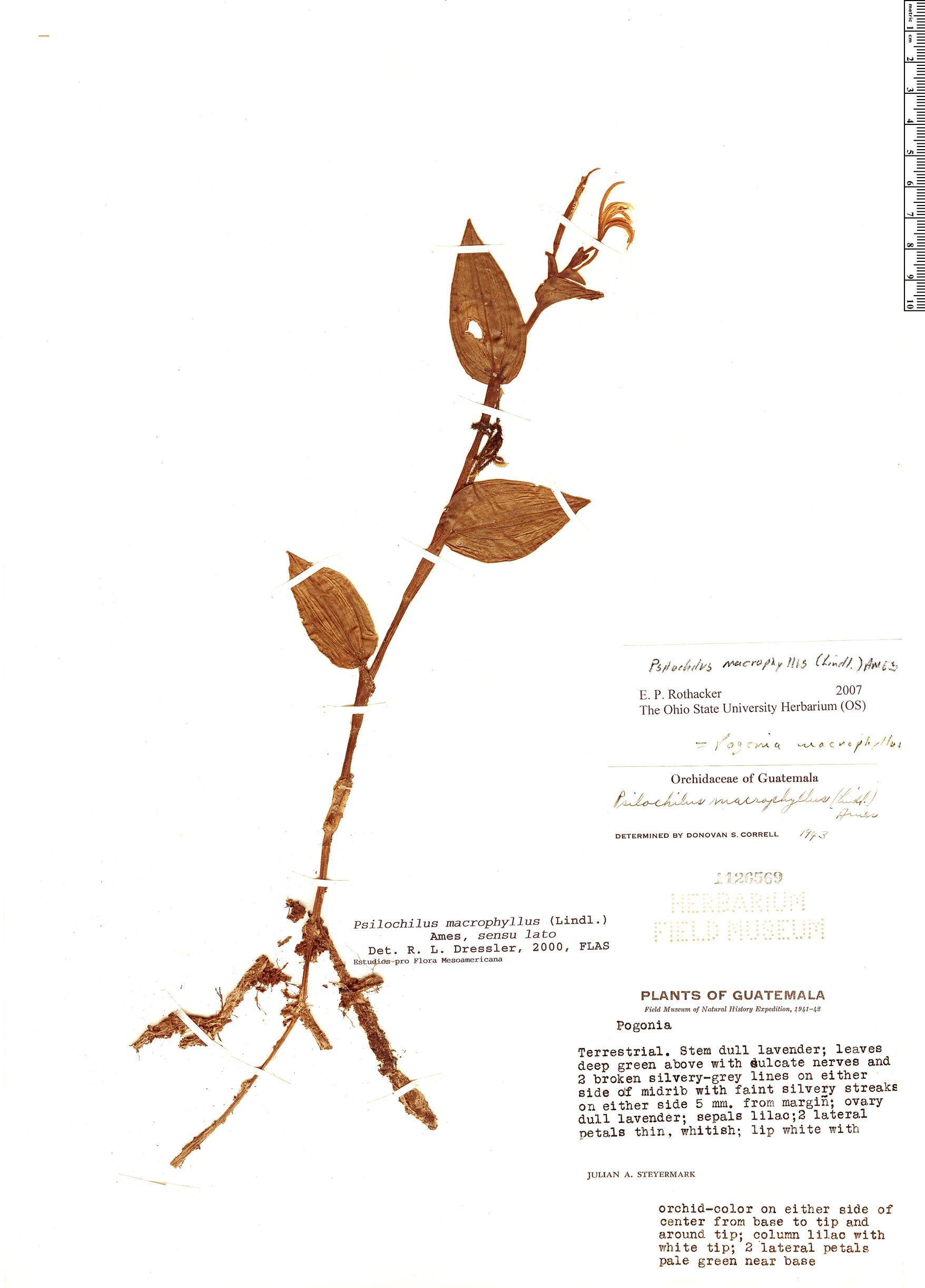Specimen: Psilochilus macrophyllus