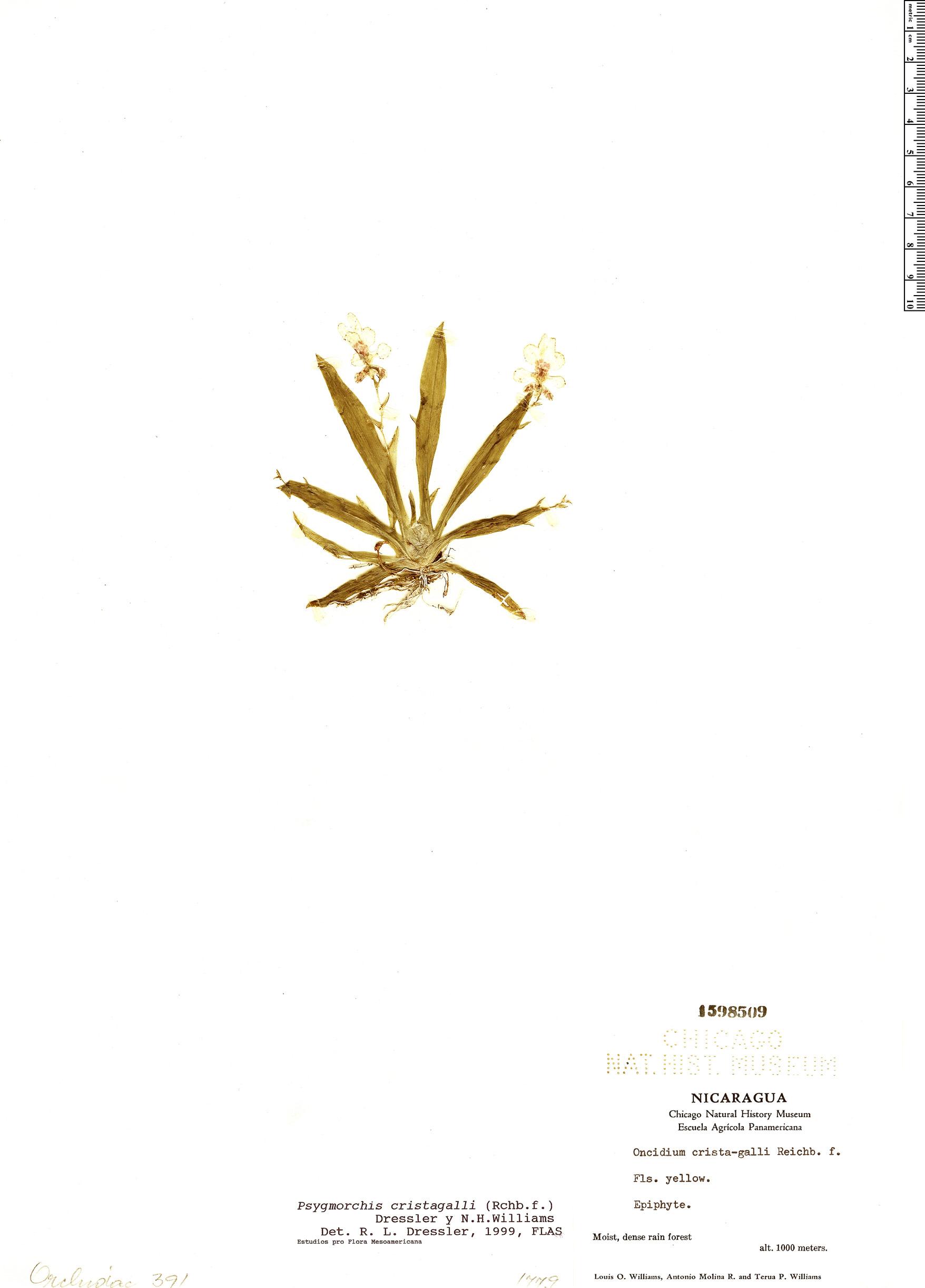 Specimen: Erycina crista-galli