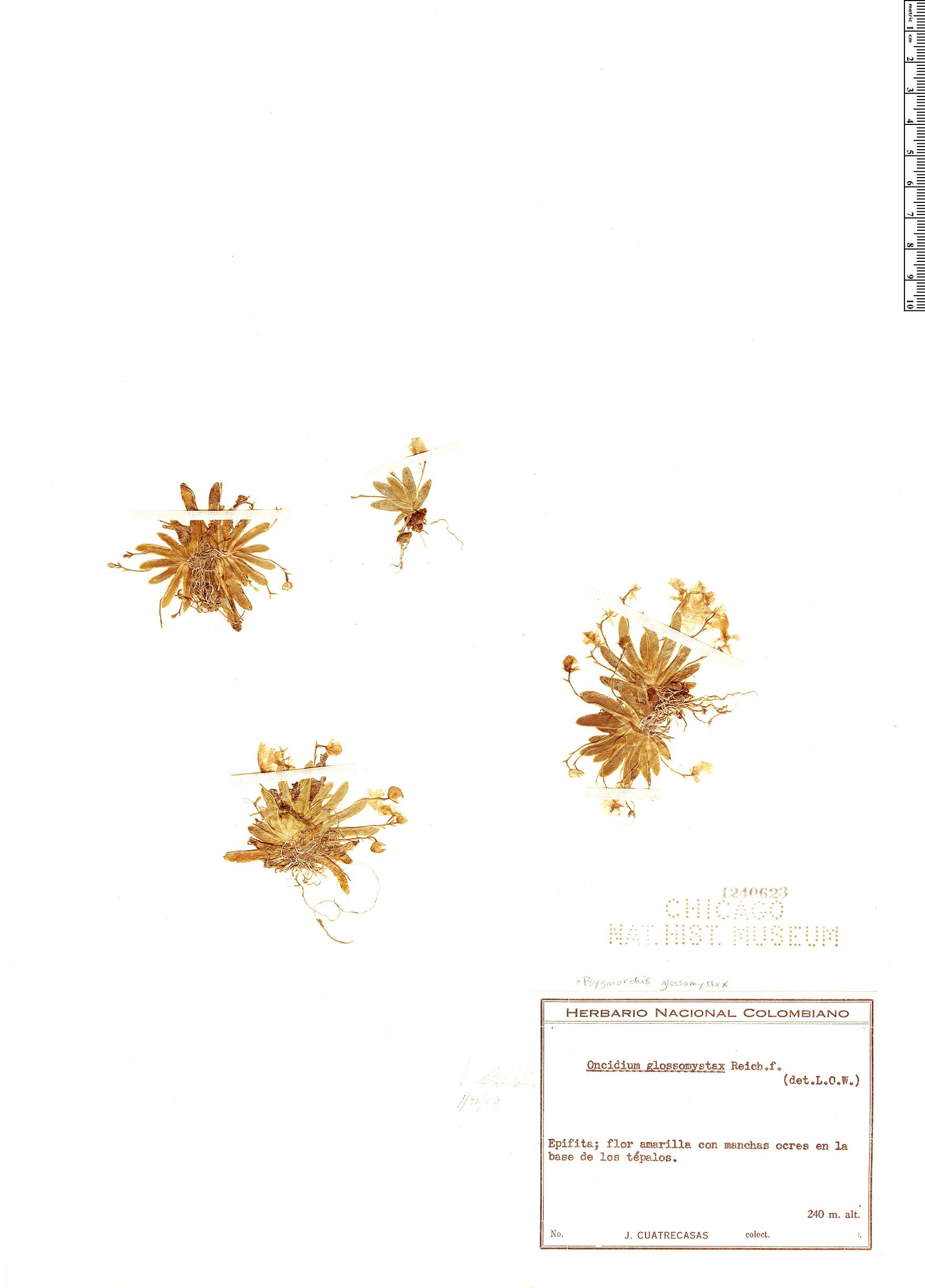 Specimen: Erycina glossomystax