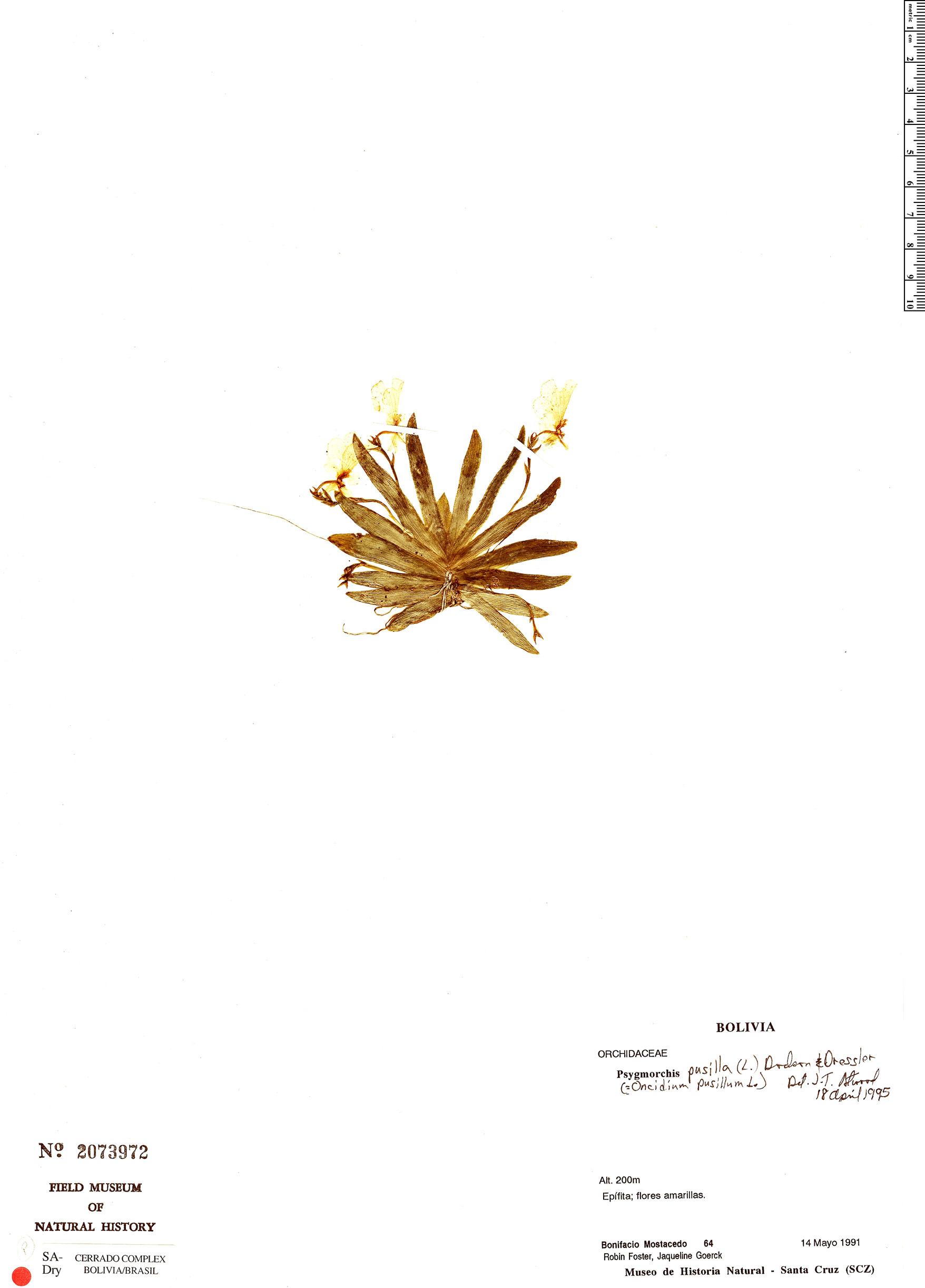 Specimen: Erycina pusilla