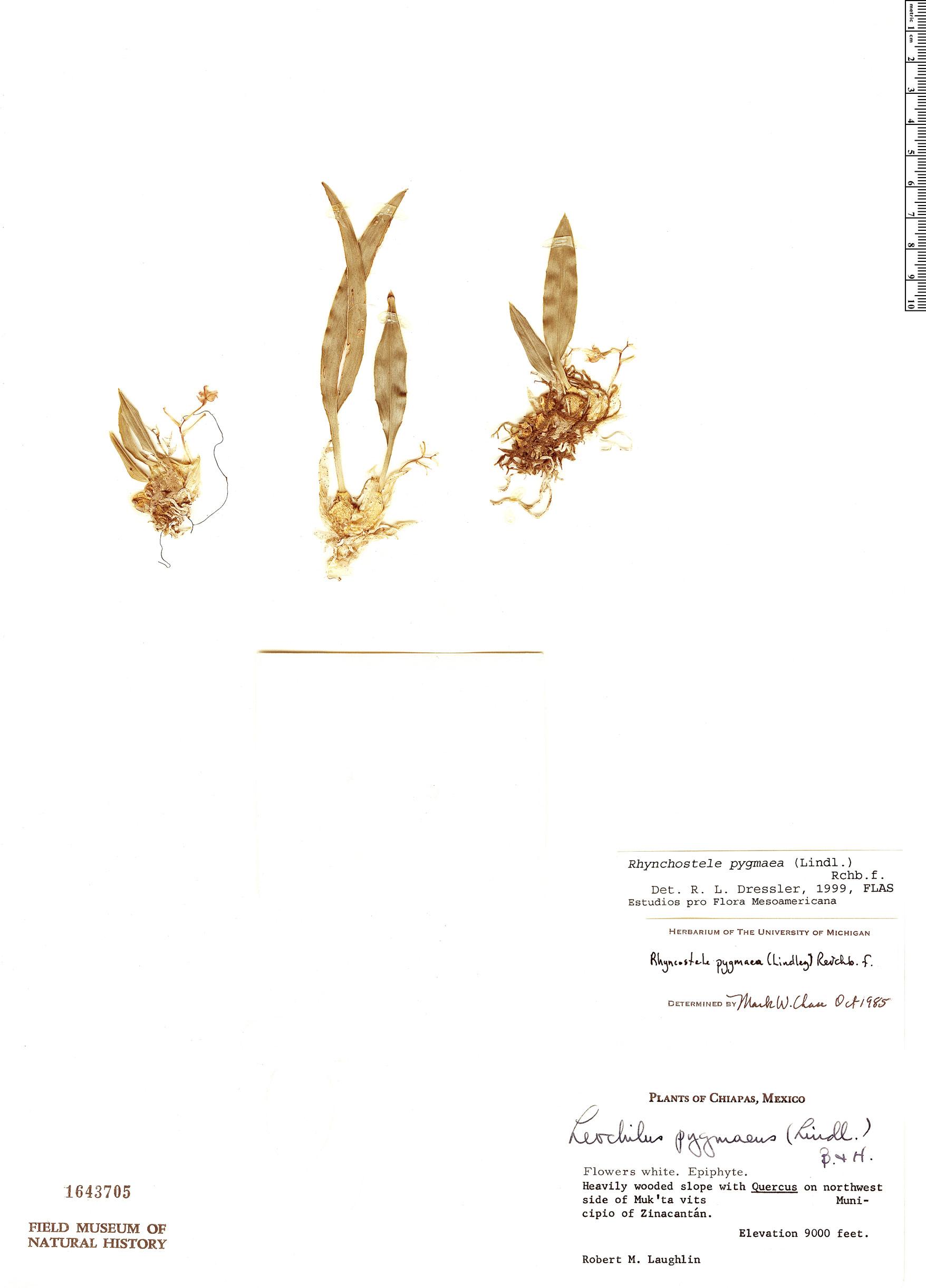Specimen: Rhynchostele pygmaea