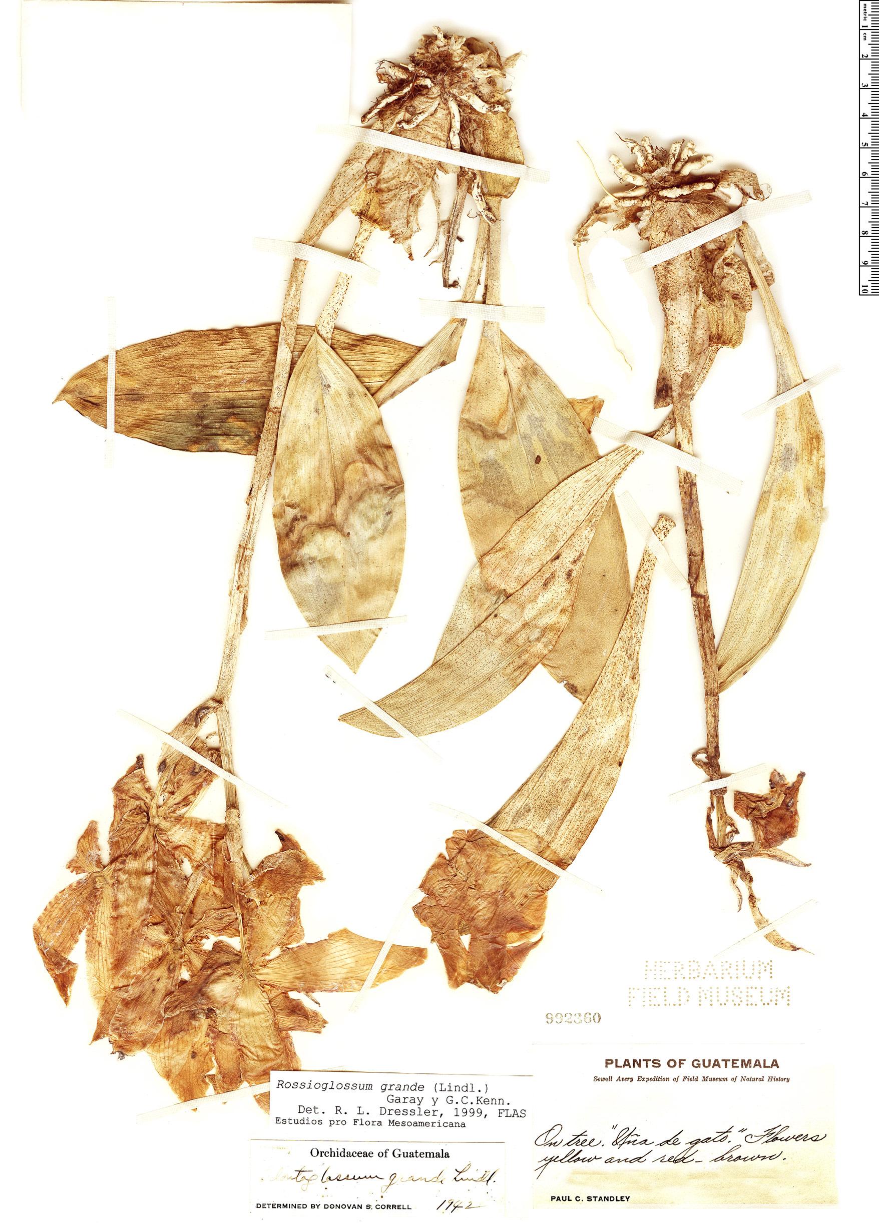 Specimen: Rossioglossum grande