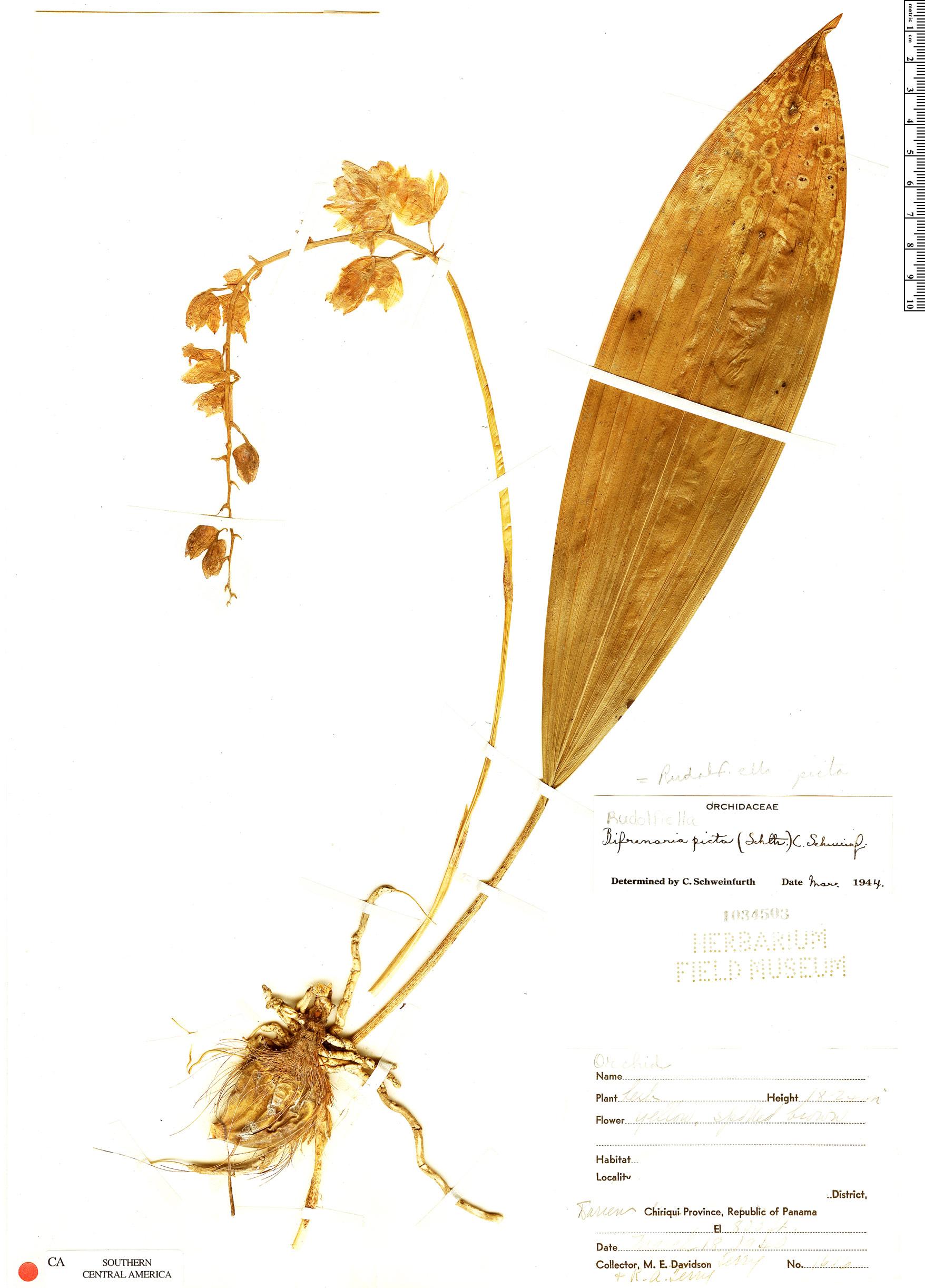 Specimen: Rudolfiella picta