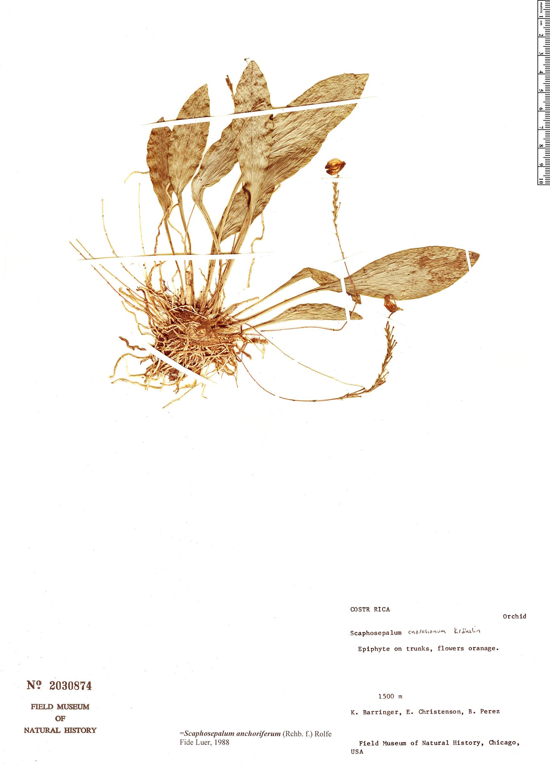 Espécimen: Scaphosepalum anchoriferum