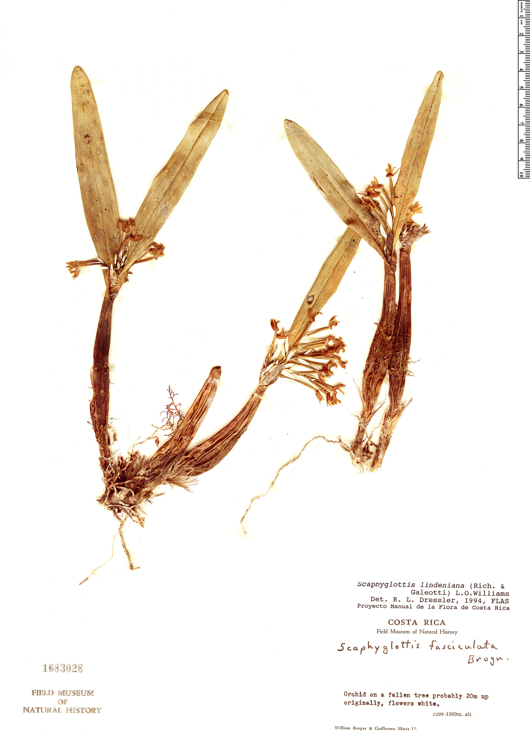 Specimen: Scaphyglottis lindeniana
