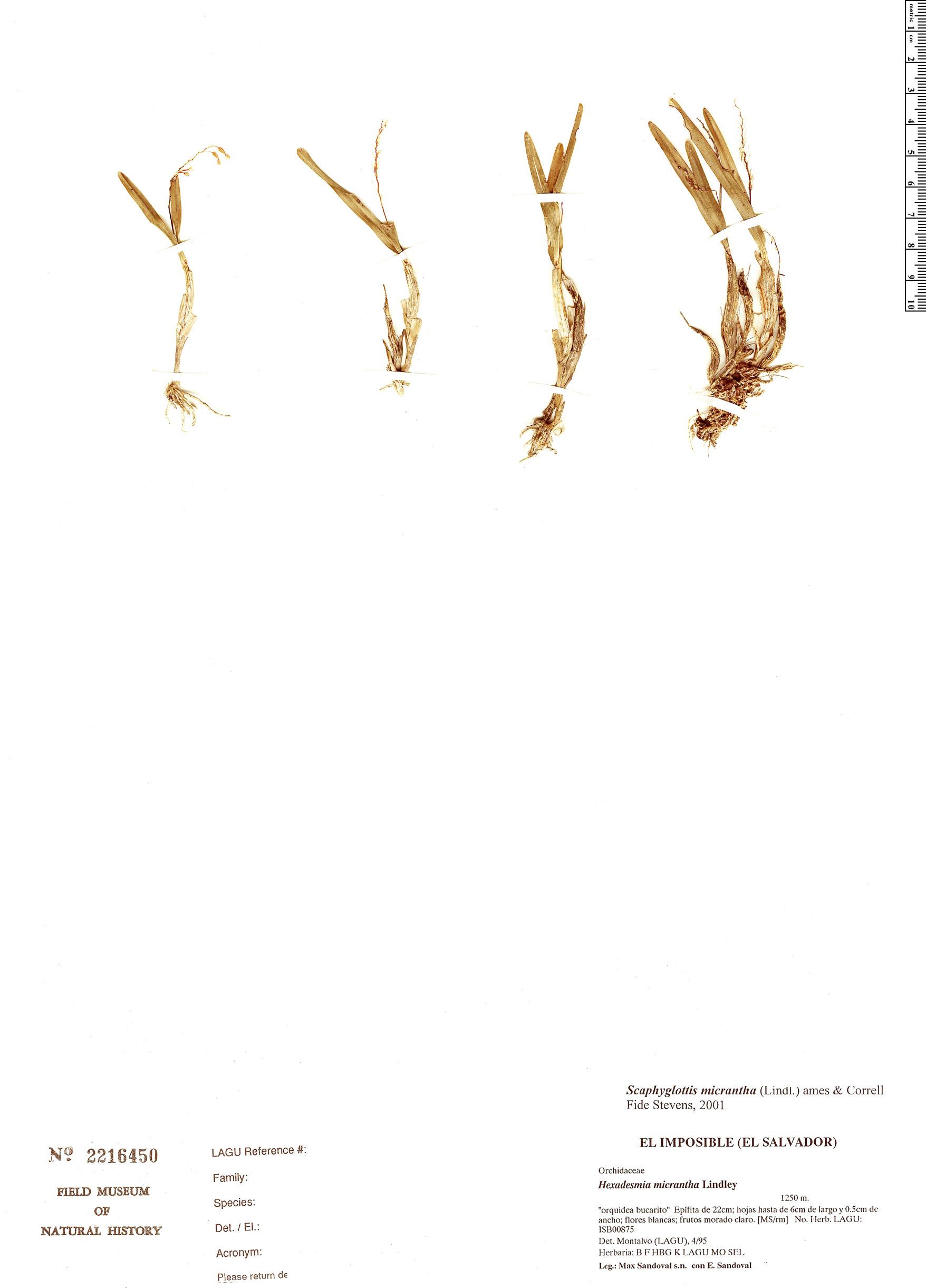 Specimen: Scaphyglottis micrantha