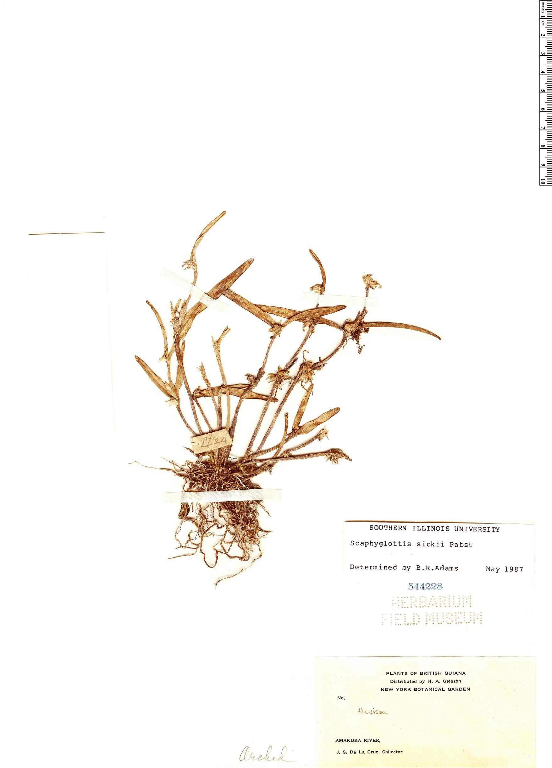 Specimen: Scaphyglottis sickii