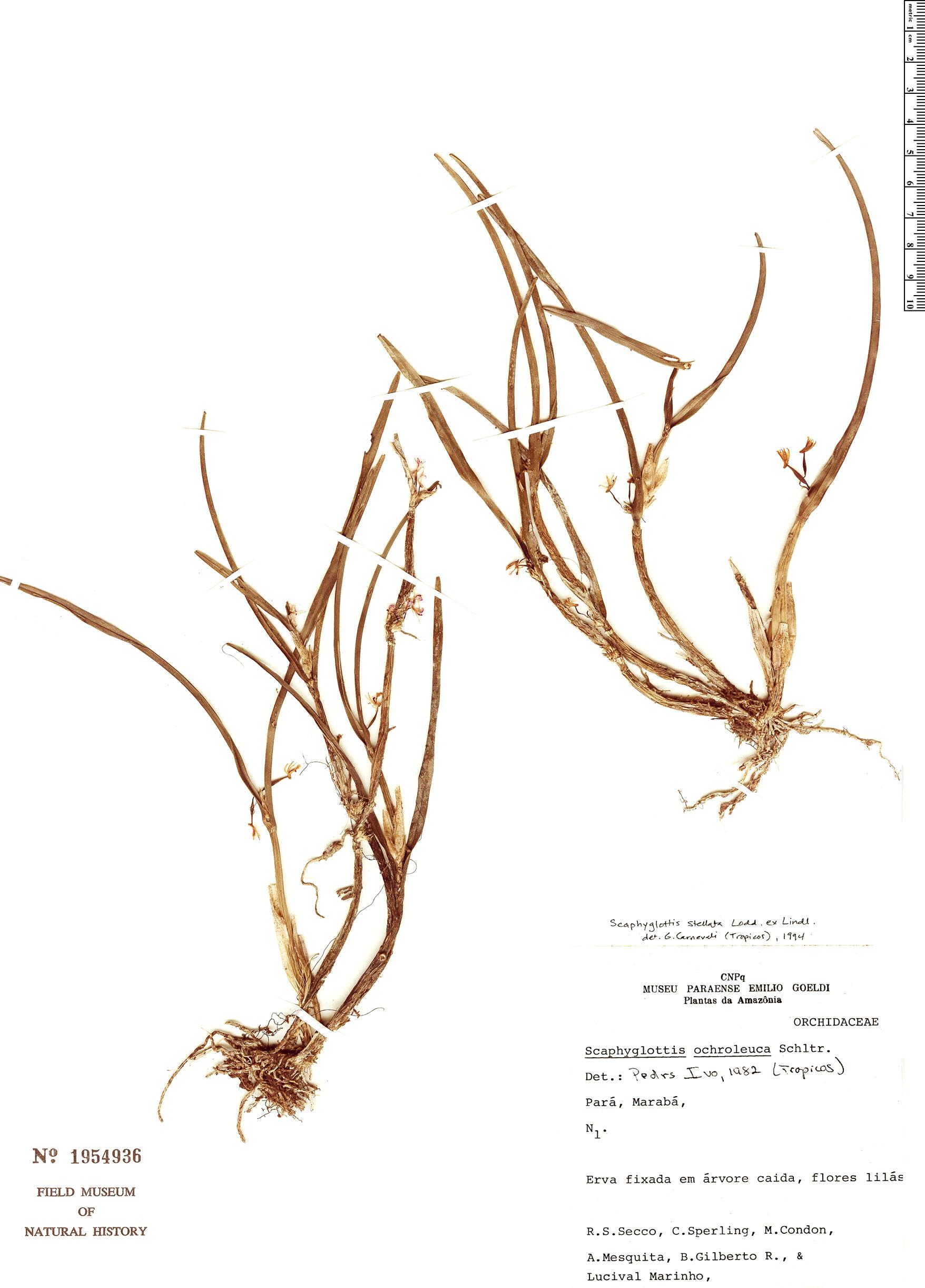 Specimen: Scaphyglottis stellata