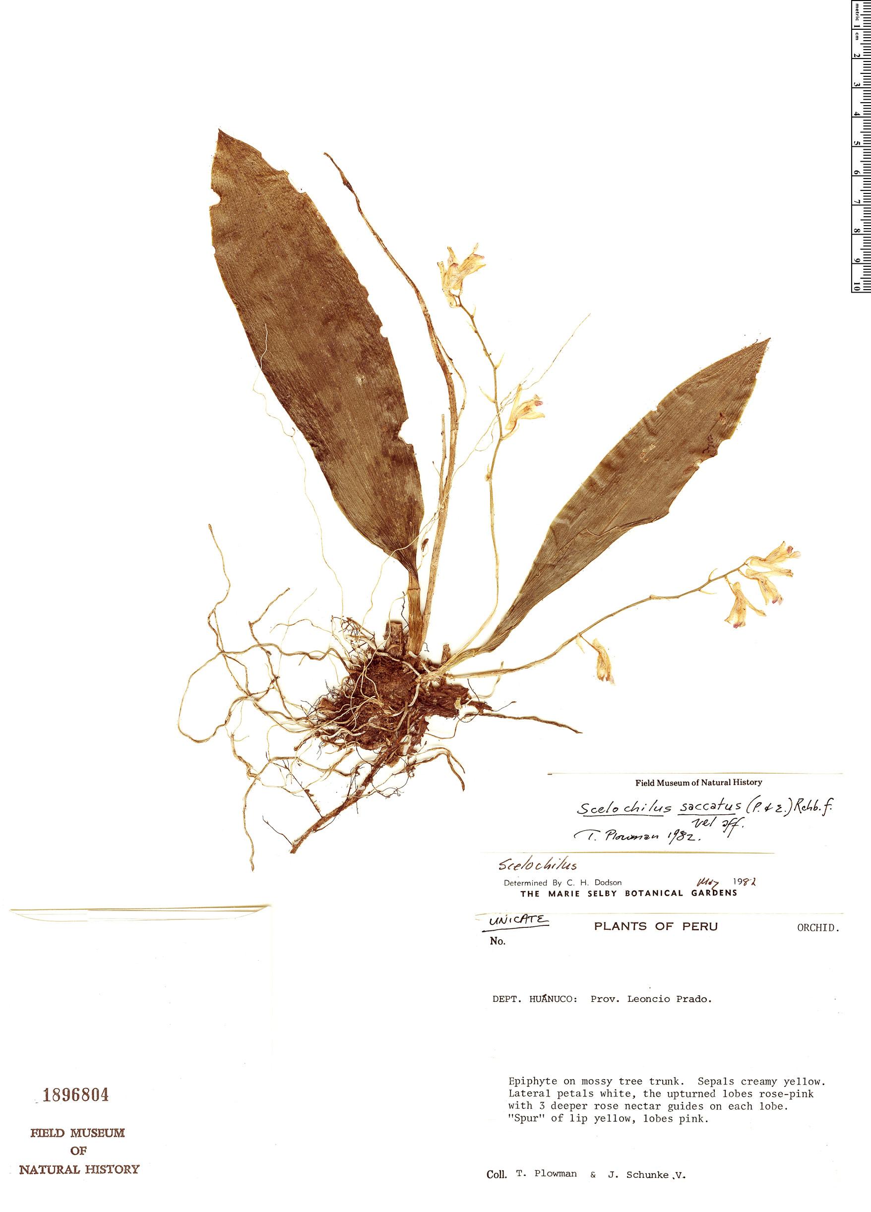 Specimen: Scelochilus saccatus